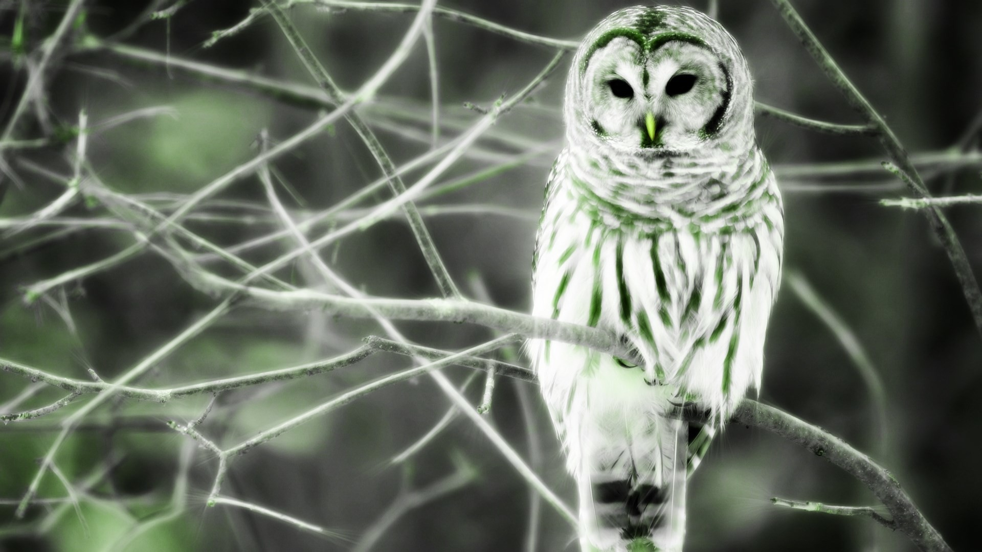 Free barred owl wallpaper – barred owl category
