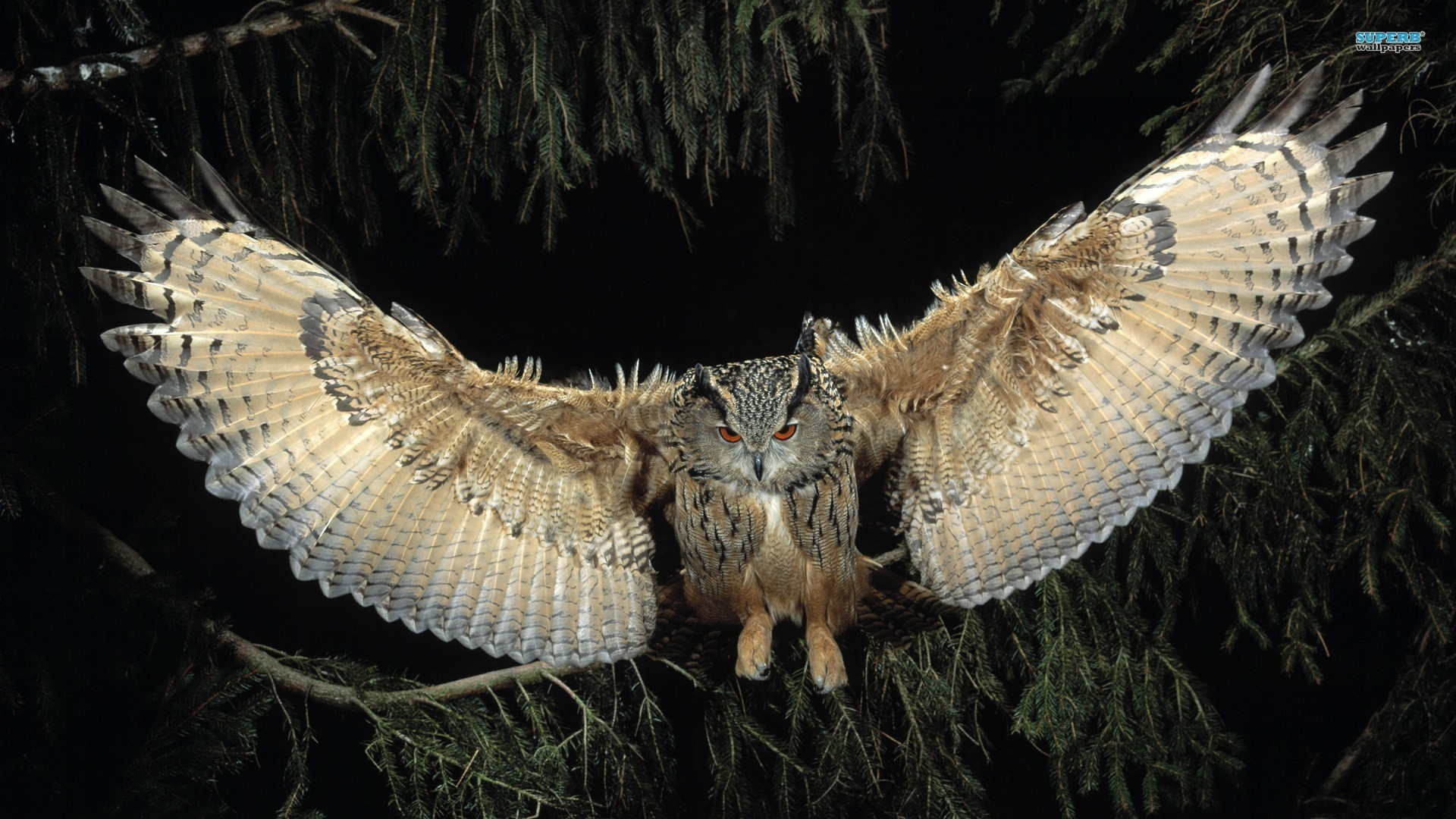 Flying Owl Exclusive HD Wallpapers #4157