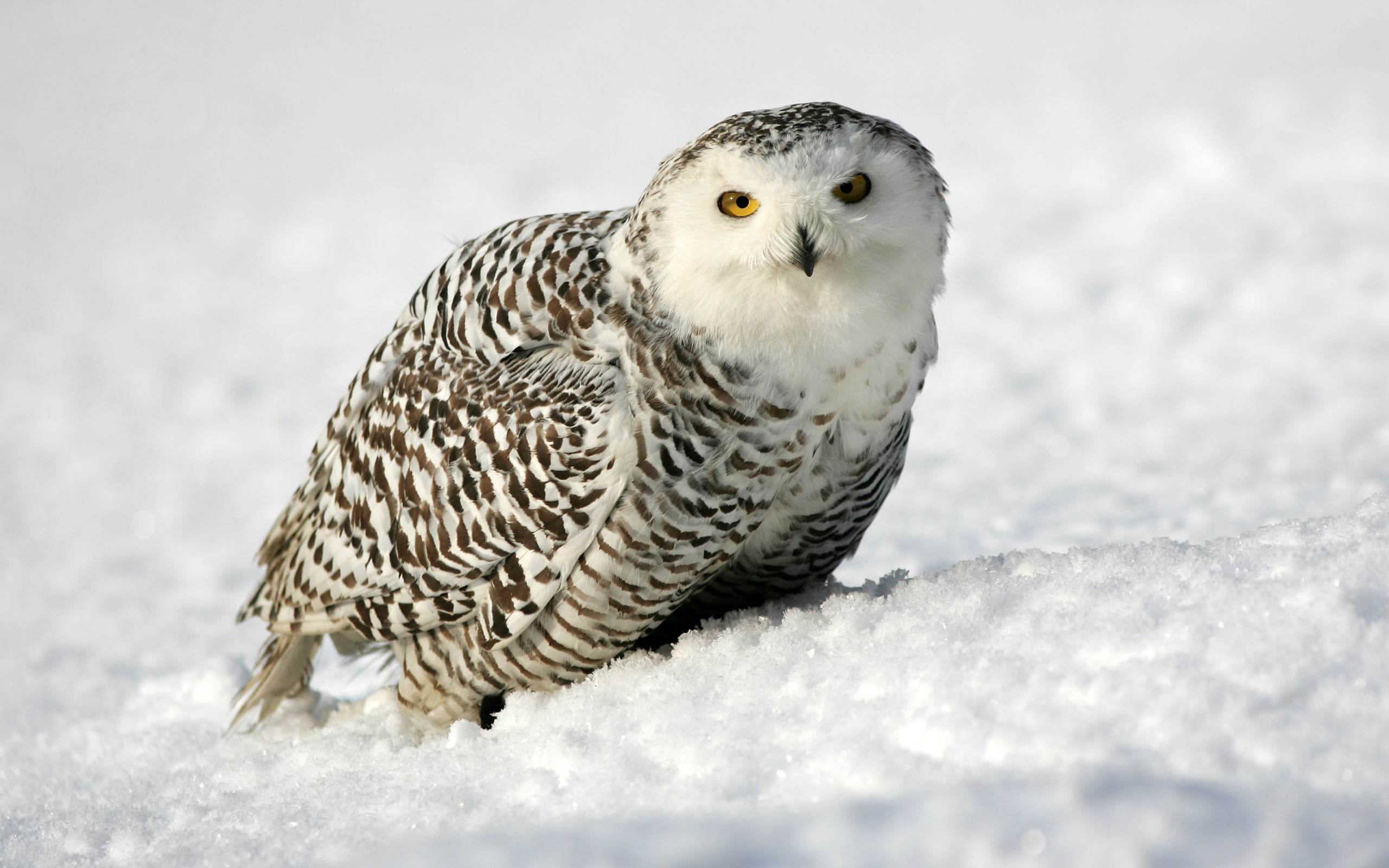 Snowy Owl Beautiful HD Beautiful Pictures Snowy Owl (1) …