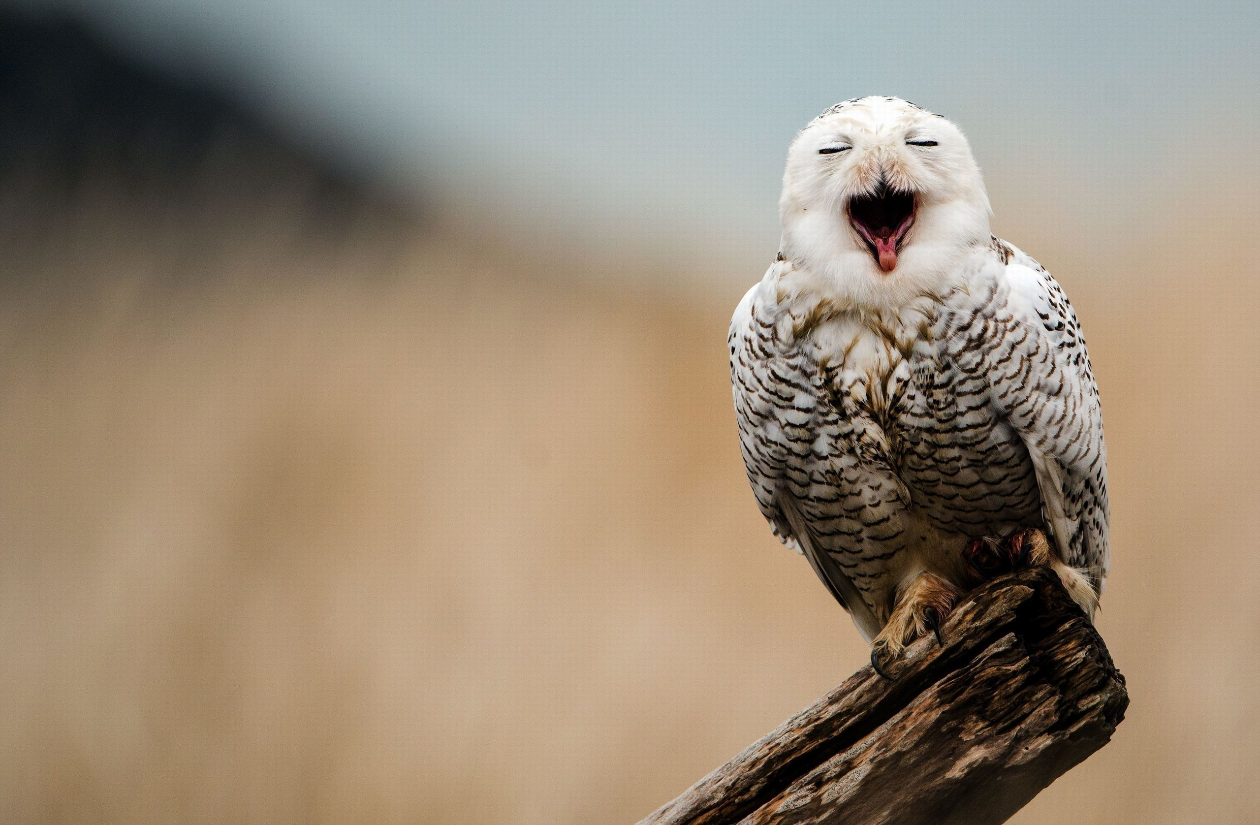 Snowy Owl Wallpaper Full HD