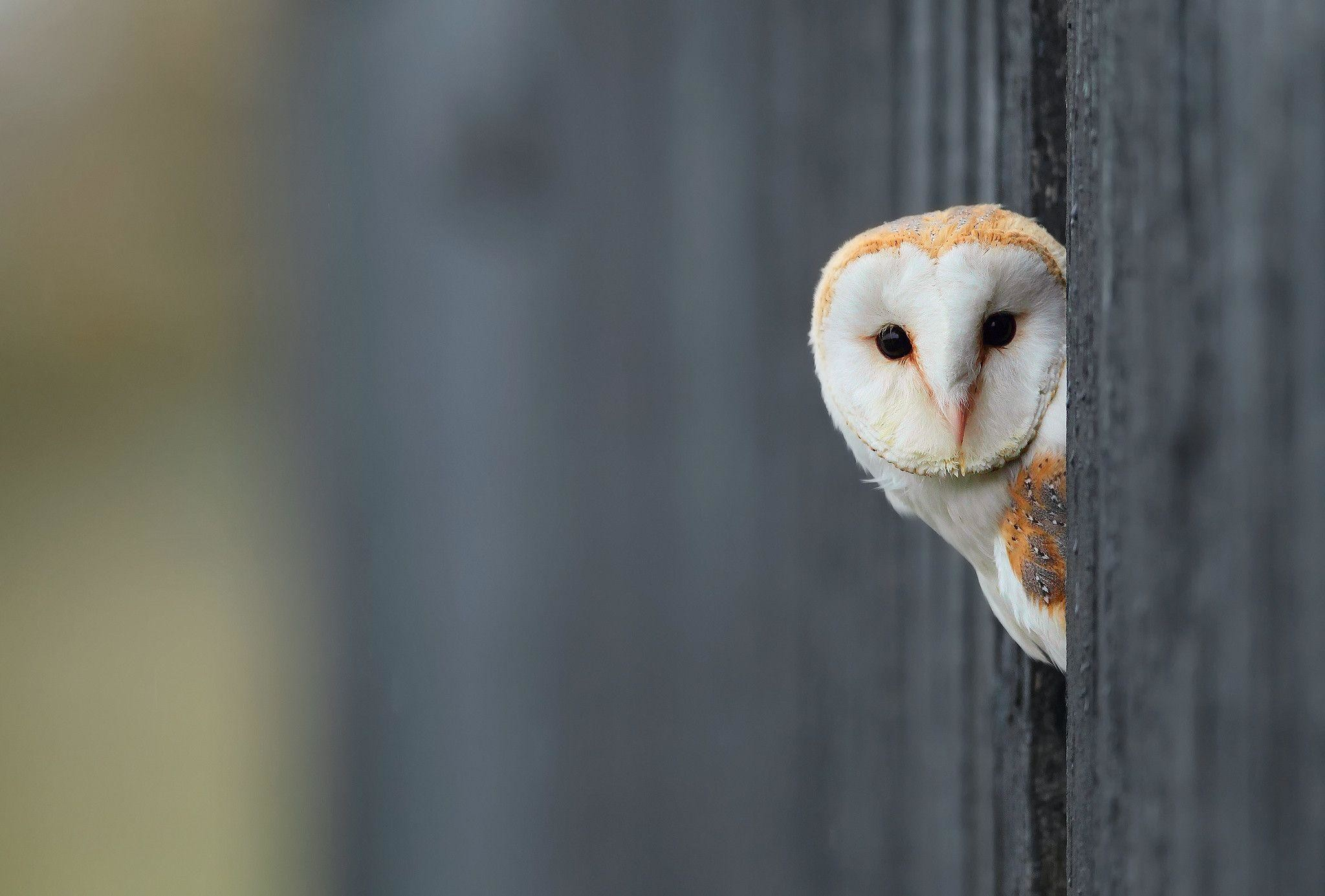 White Owl Wallpaper   HD Wallpapers, backgrounds high resolution .