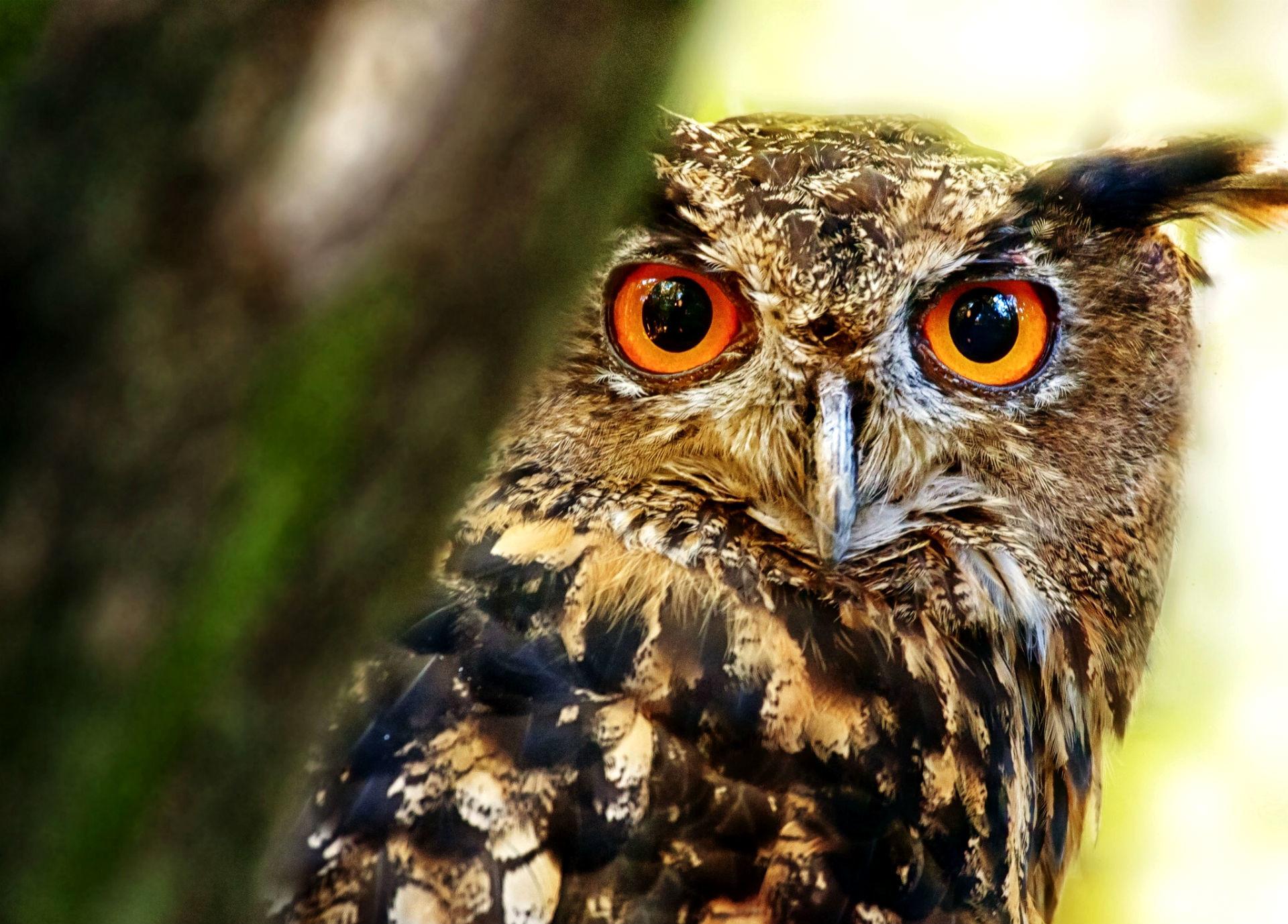 … Great Horned Owl Wallpaper