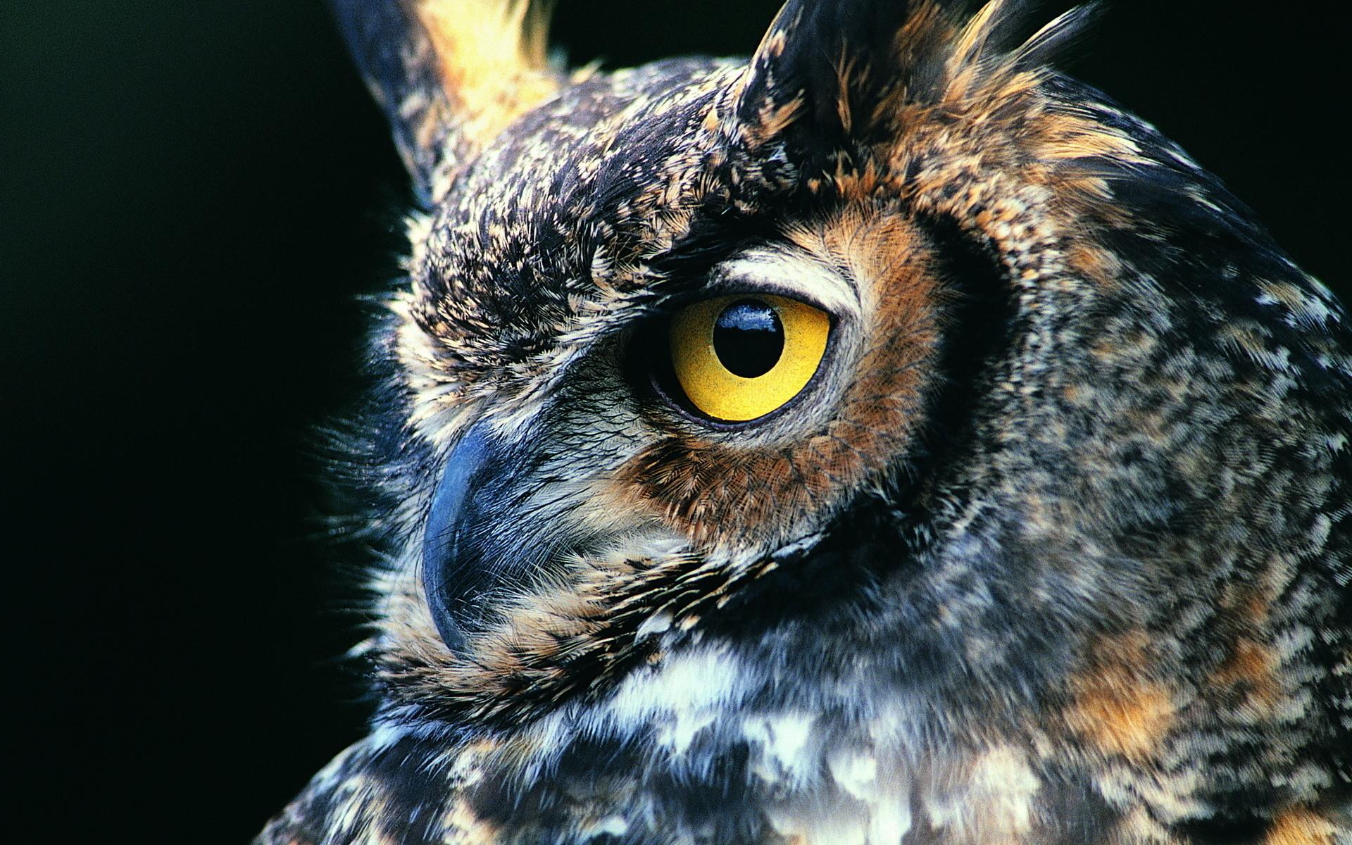 Great Horned Owl Computer Wallpapers, Desktop Backgrounds   .