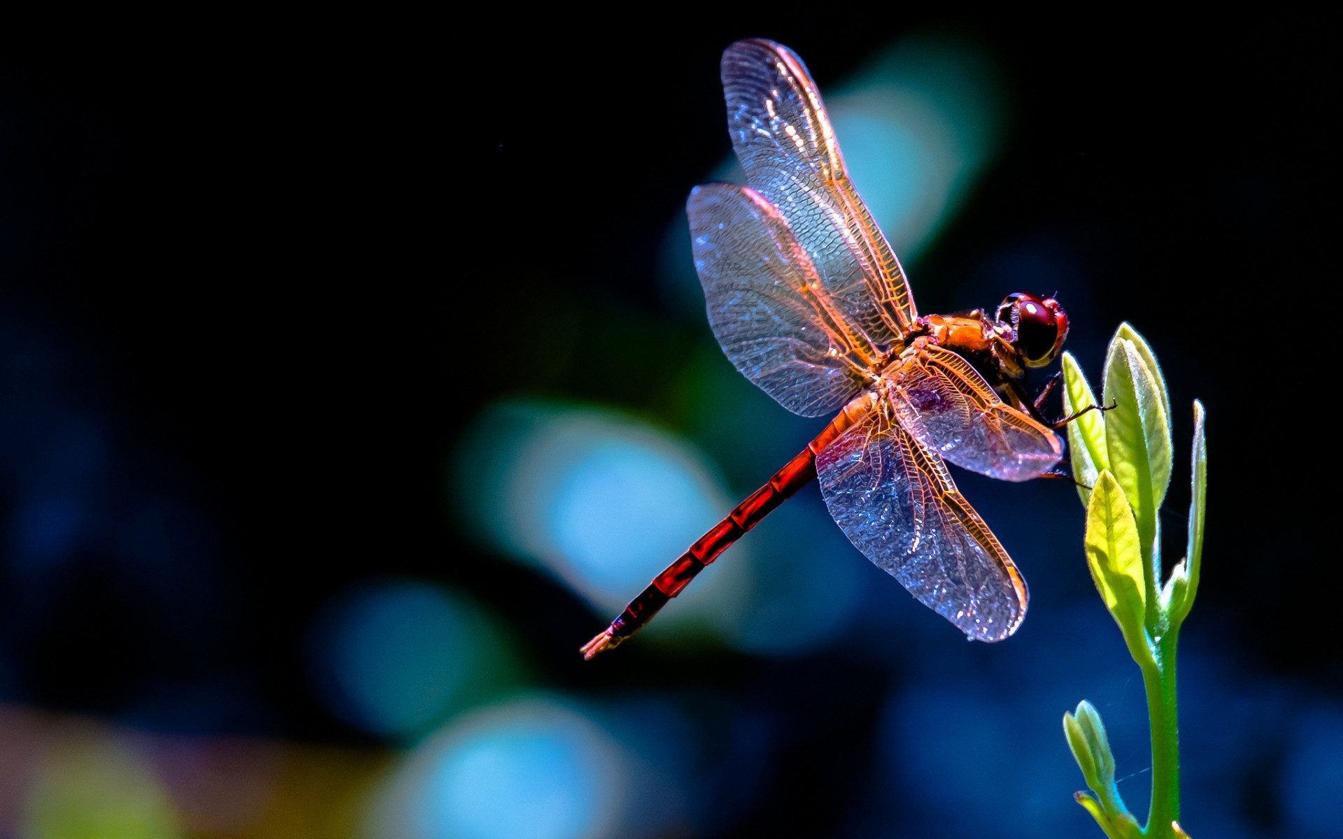 Dragonfly Backgrounds (58 Wallpapers)