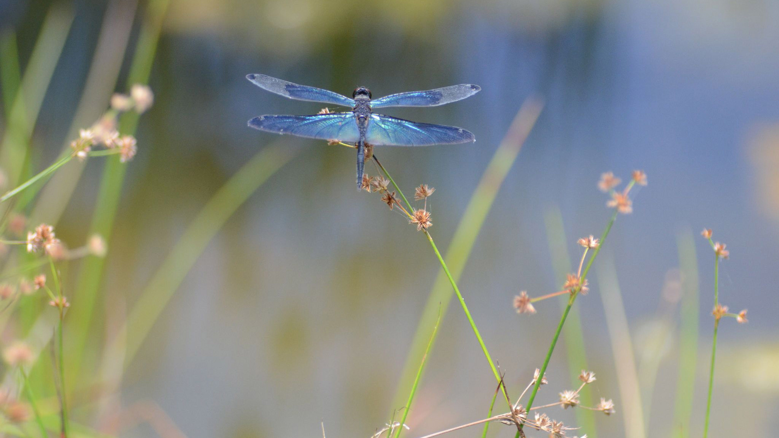 Free Dragonfly Wallpaper Animals Town 2560×1440 Dragonfly Pictures  Wallpapers (52 Wallpapers) |