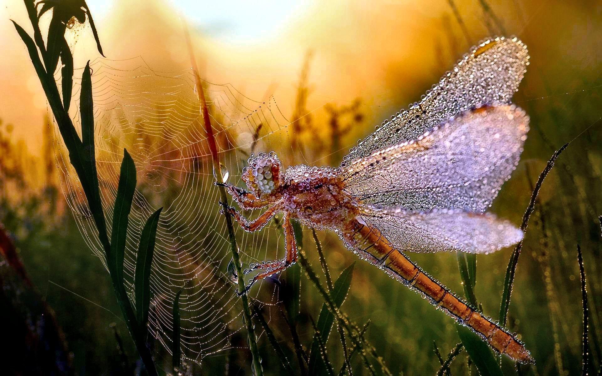 Djur РDragonfly Insect Morning Dew Spider Web L̦v Djur Bakgrund