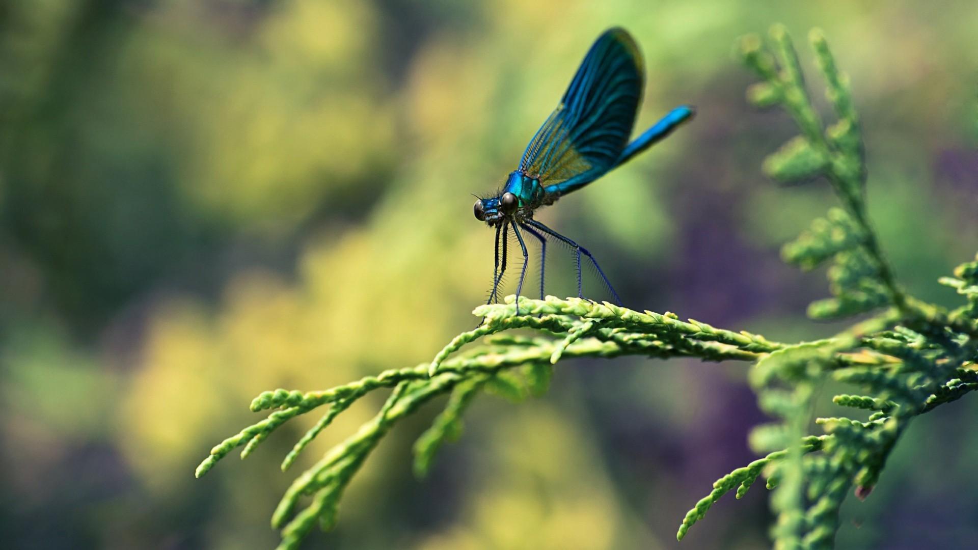 MACRO wallpaper | Blue Dragonfly Macro Wallpaper – New HD Wallpapers