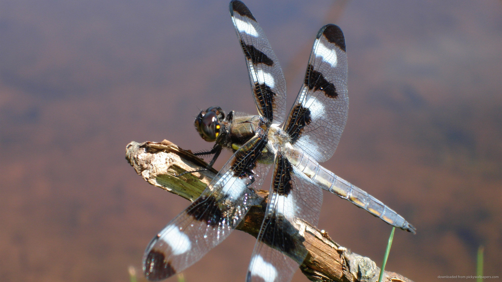 White and Black Dragonfly Insect Wallpaper picture
