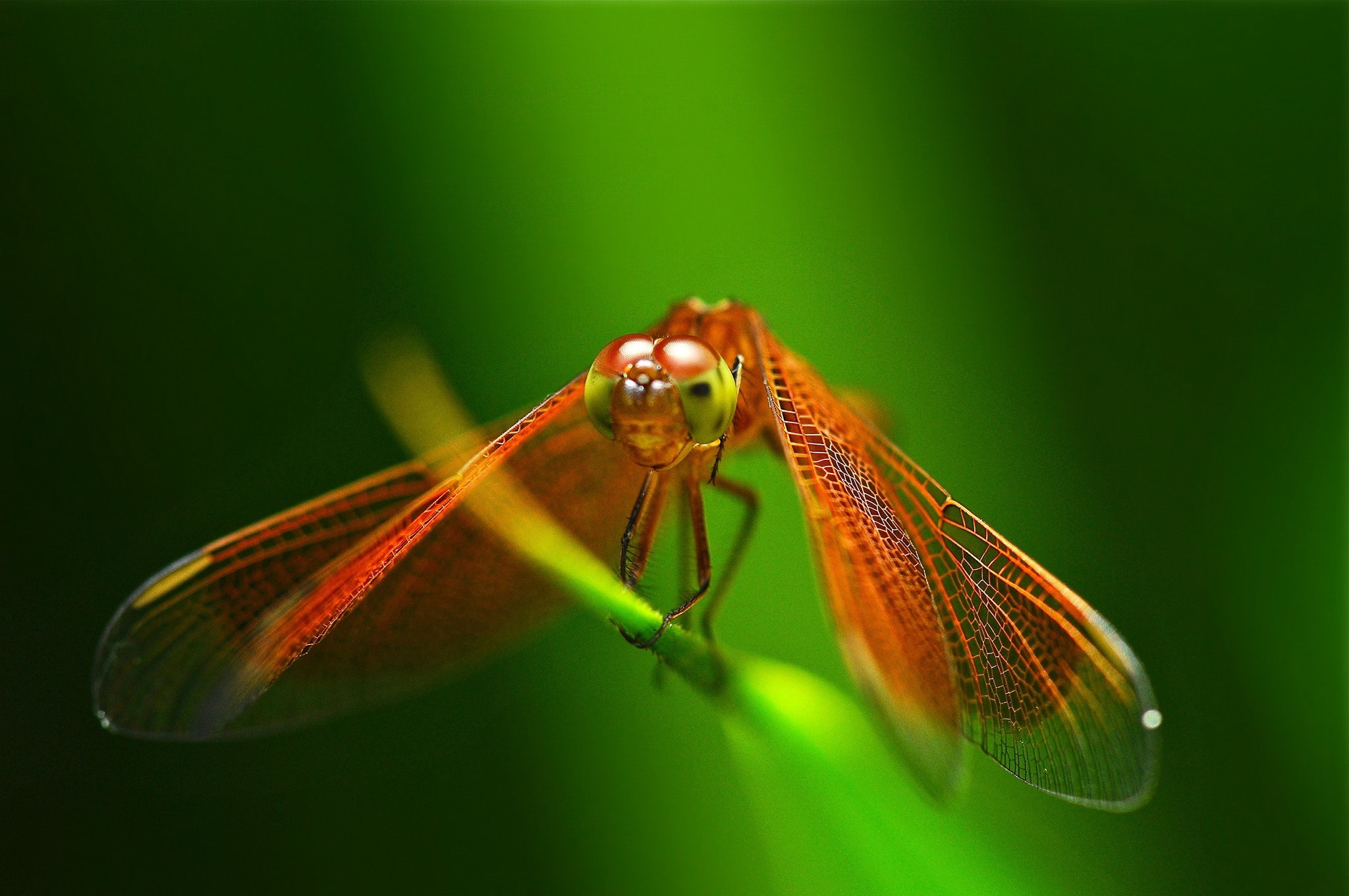 free screensaver wallpapers for dragonfly