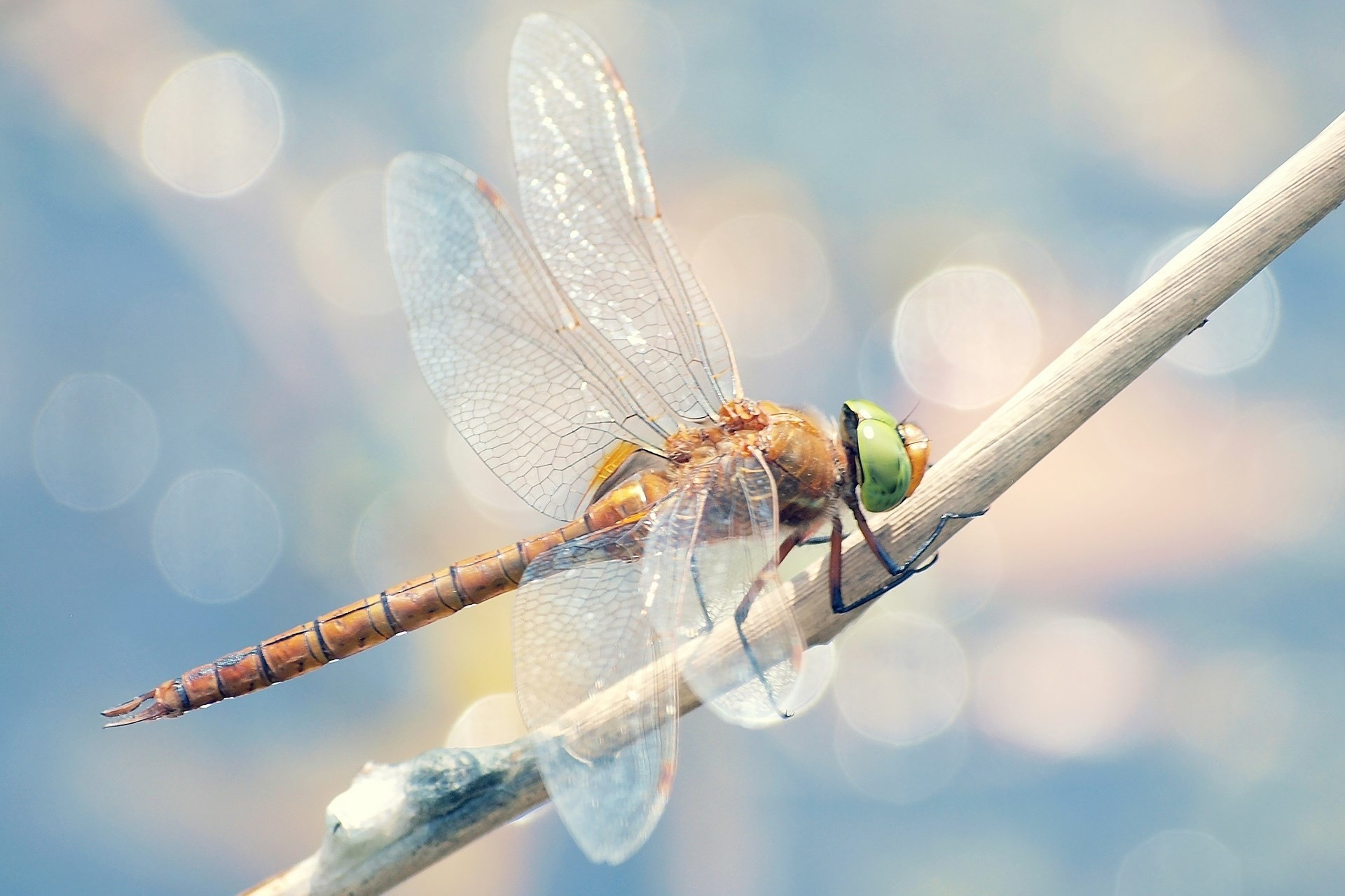 1920×1080 free screensaver wallpapers for dragonfly. widescreen  hd dragonfly