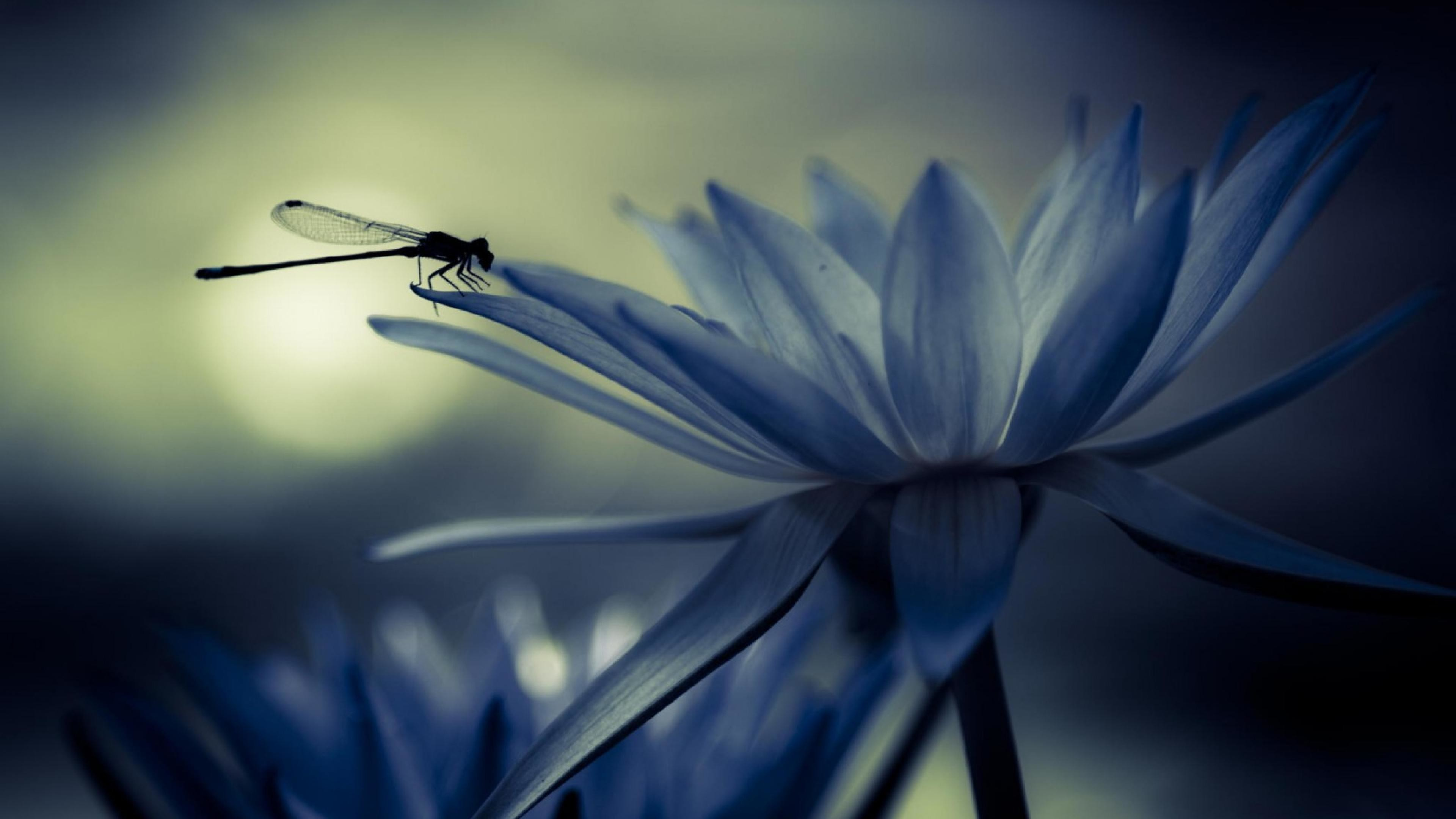 Free Dragonfly Wallpapers And Screensavers, 45 Dragonfly HDQ .