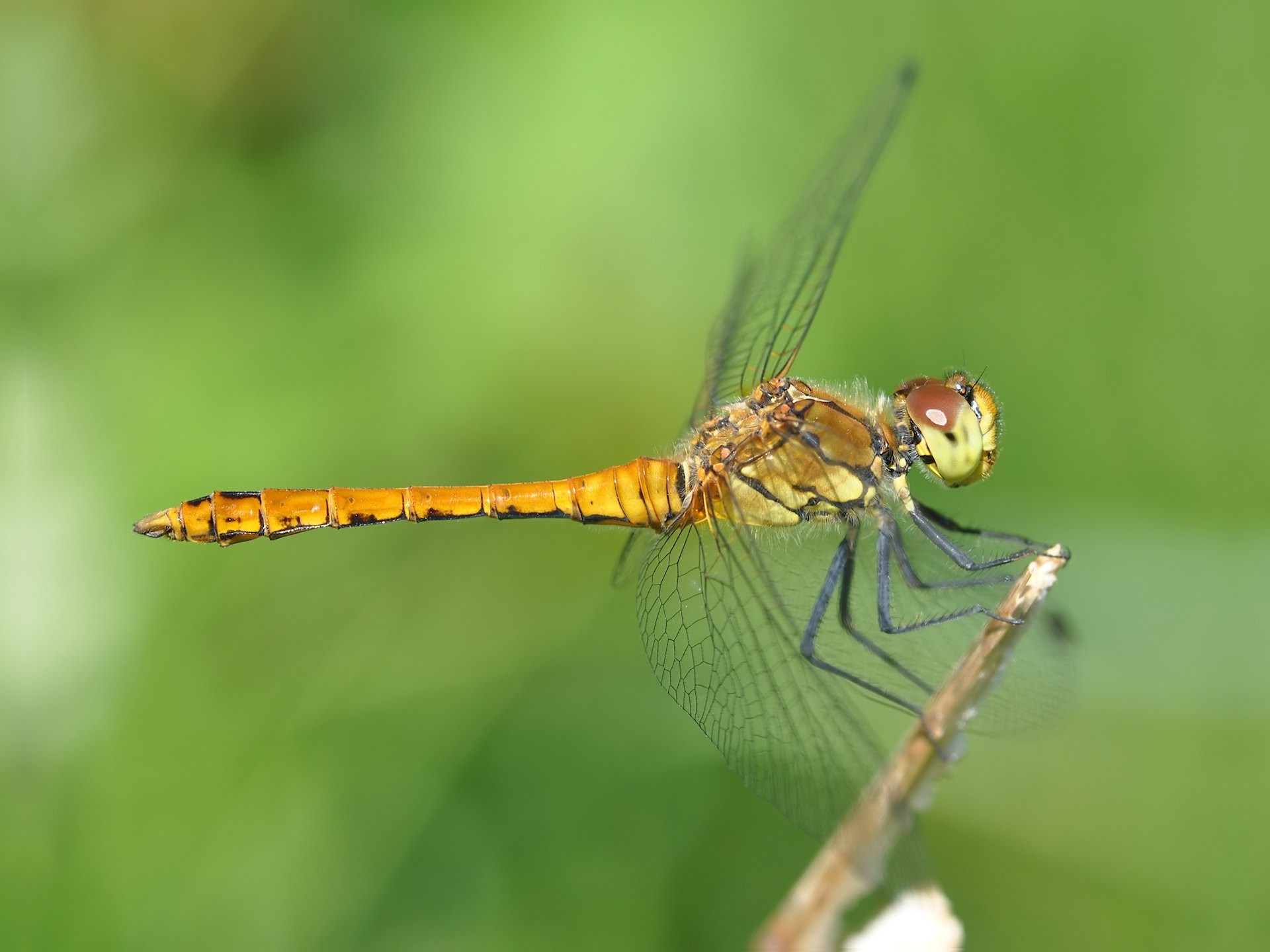 dragonfly free. Â«Â«