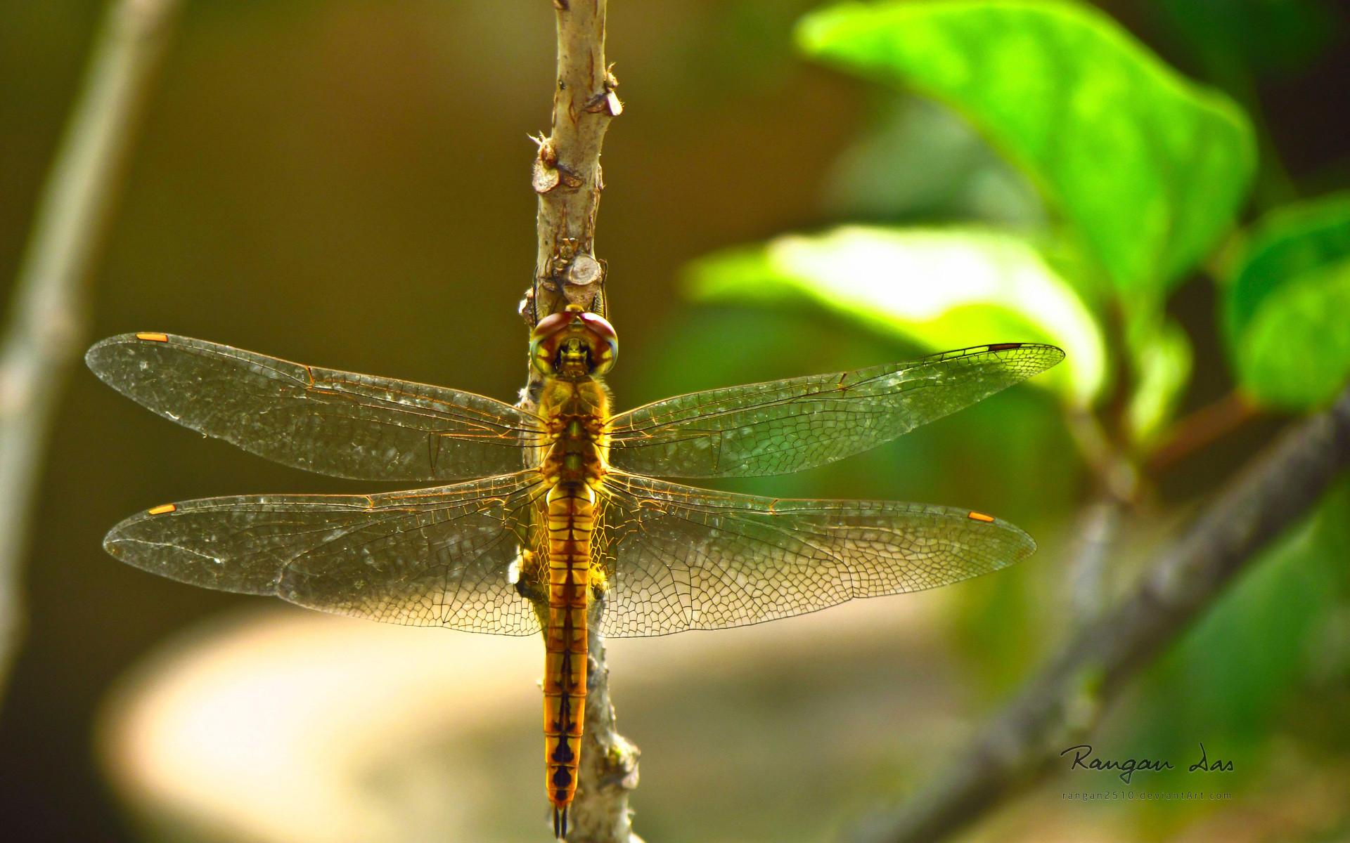 Dragonfly (wallpaper Image–Hi Res)