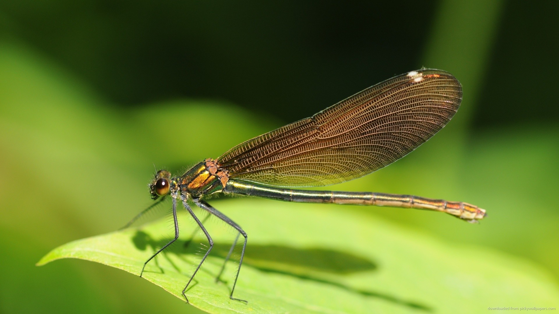 Dragonfly Insect On Leaf Wallpaper Background picture