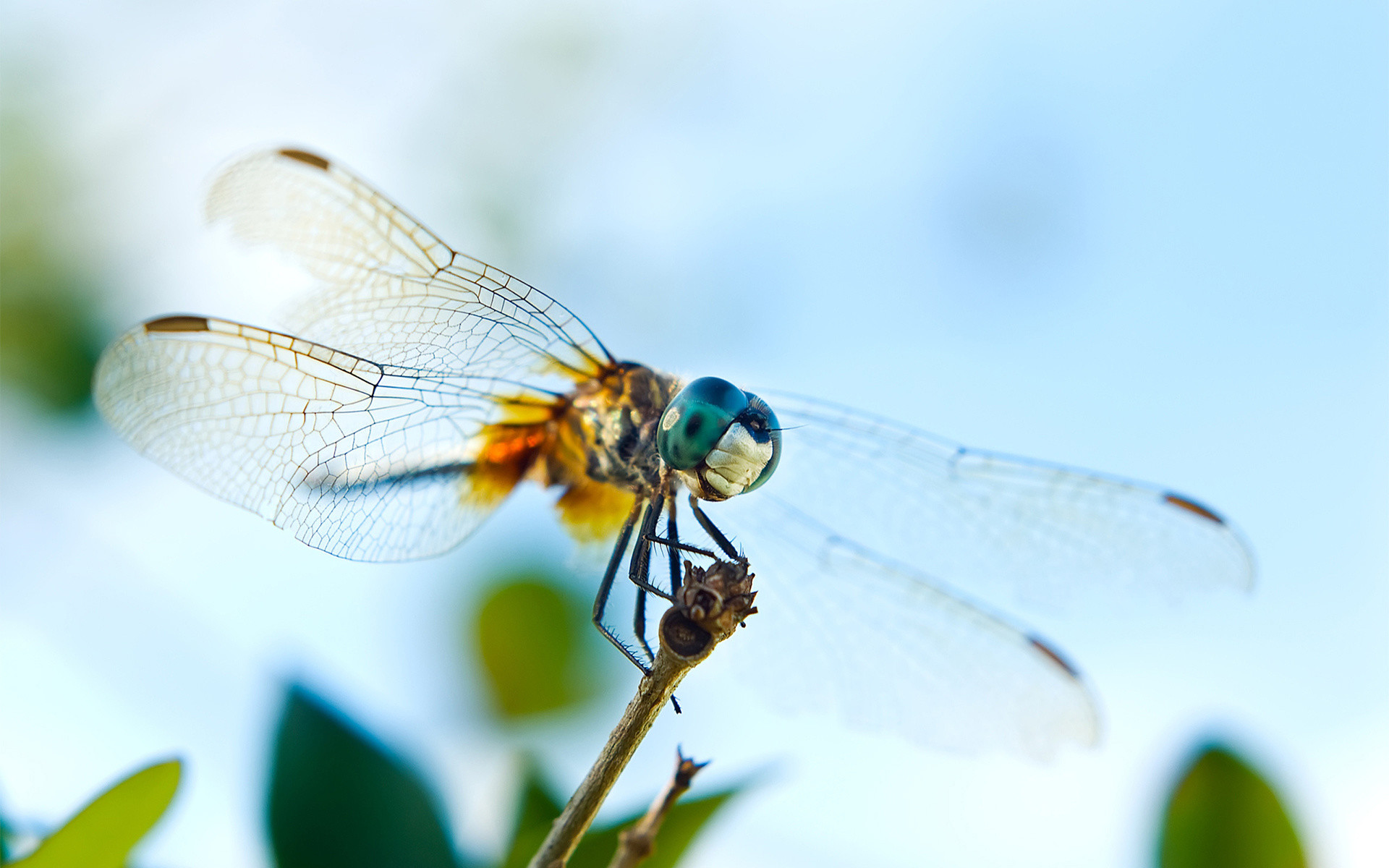 Awesome Dragonfly Wallpaper