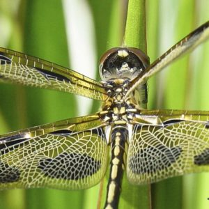 DragonfLy Screensavers and Wallpaper