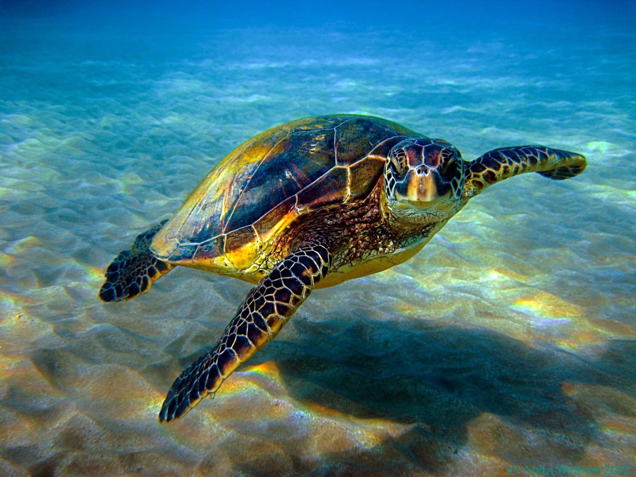 turtle free desktop wallpaper downloads
