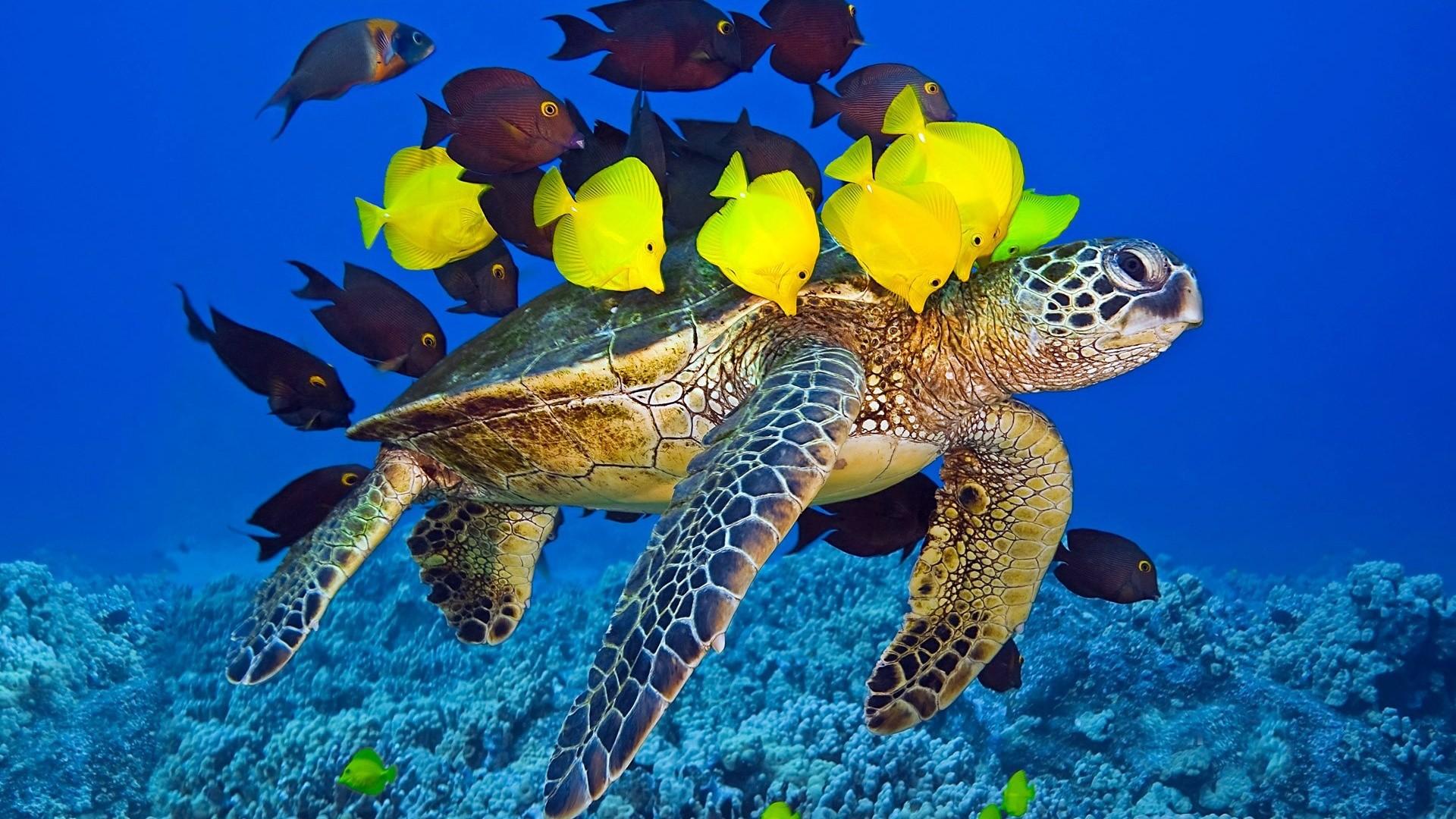 Sea turtle ocean underwater yellow and brown fish Wallpaper, Desktop .