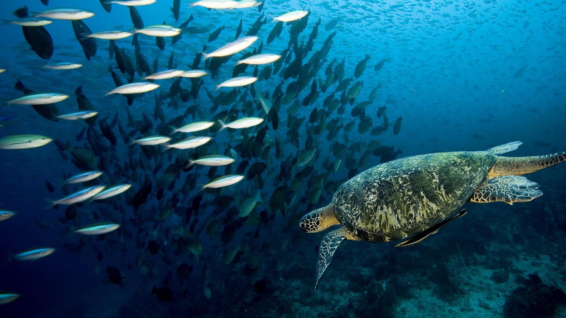 Preview wallpaper turtle, underwater, swim, fish, sea, ocean 1920×1080
