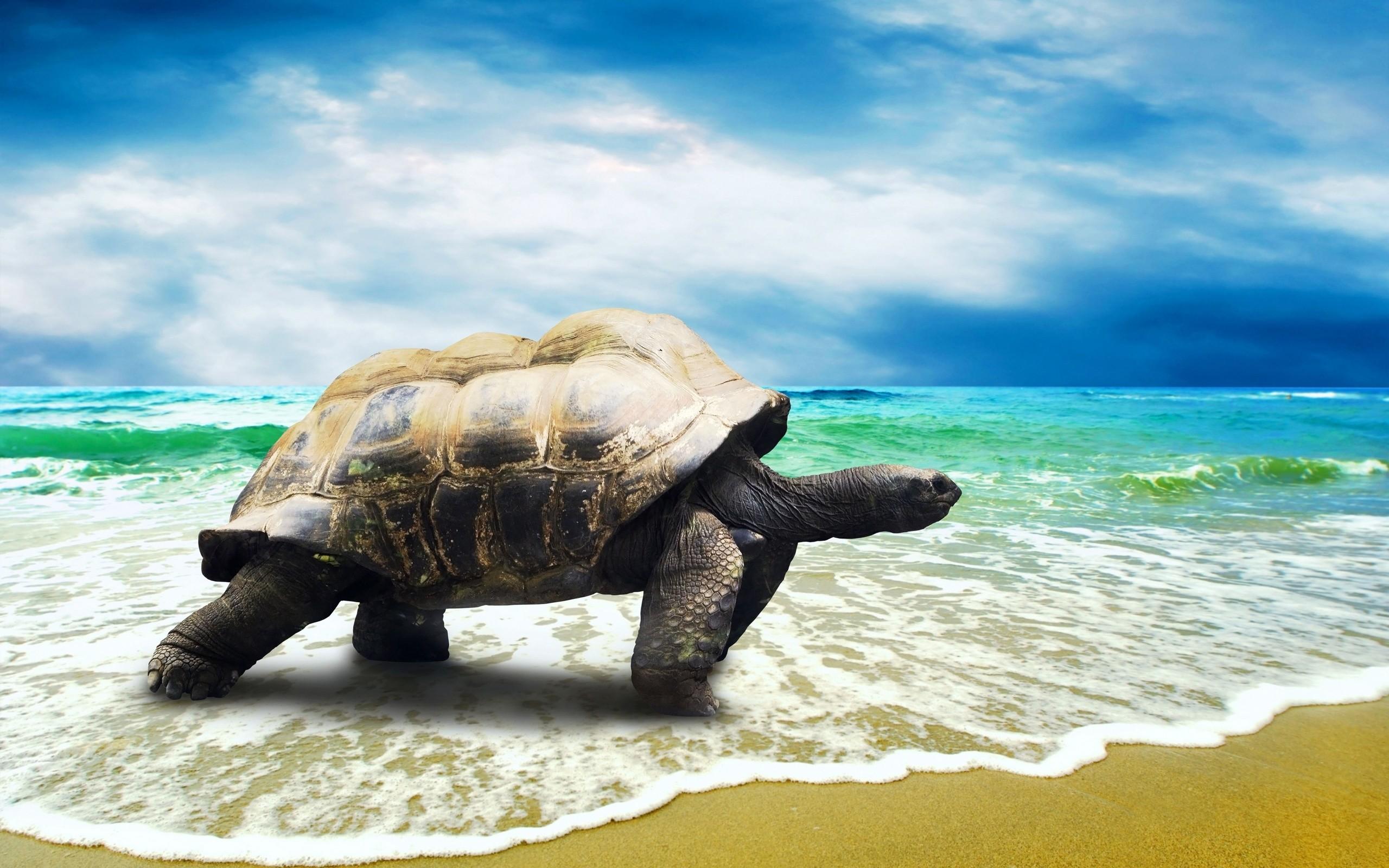 Hawaii Sea Turtle Desktop Background. Download …