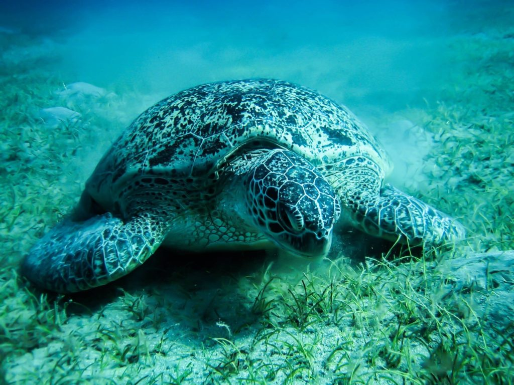 free desktop wallpaper downloads sea turtle
