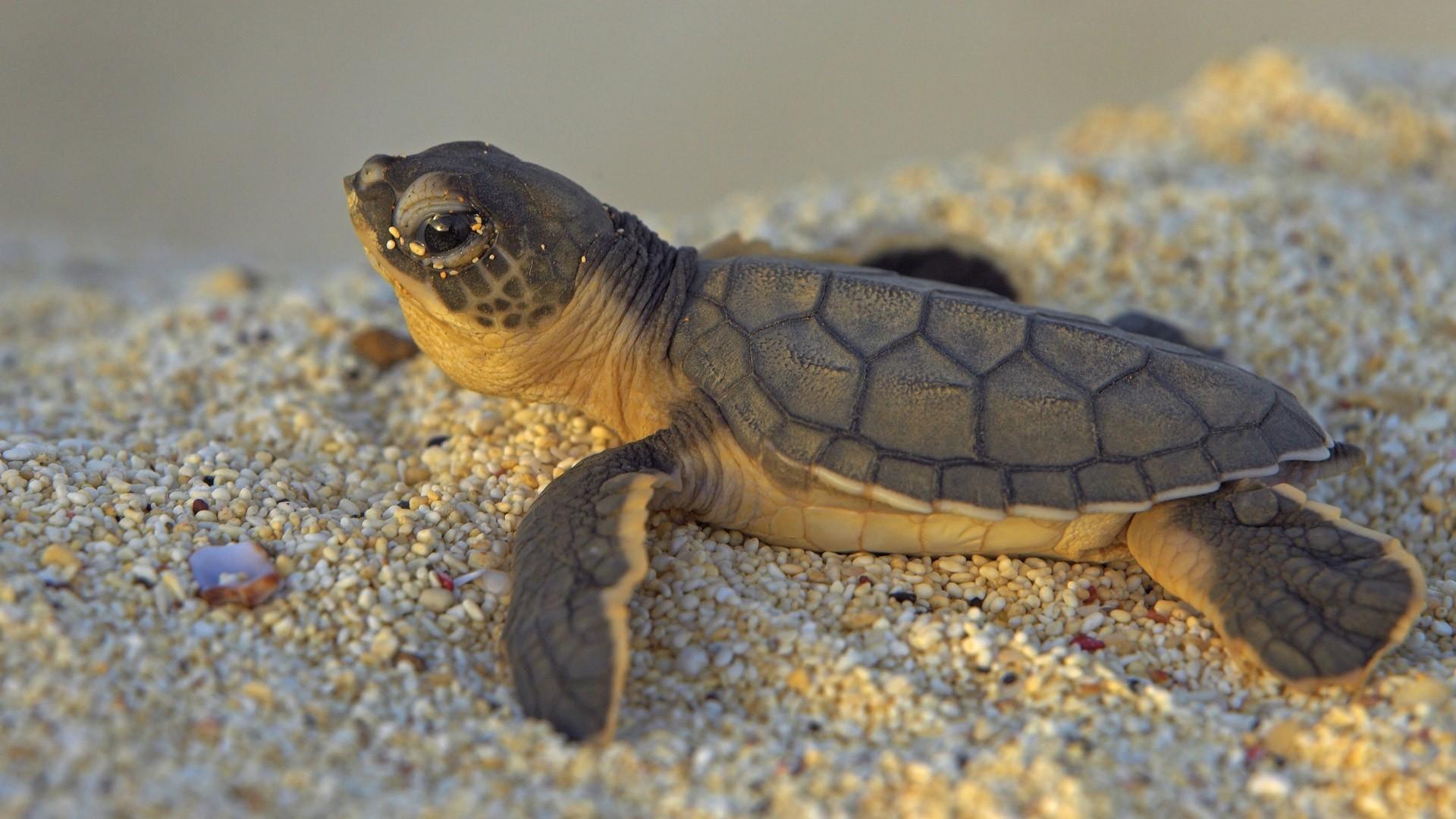 1920 x 1080 · 521 kB · jpeg, Cute Baby Sea Turtles Desktop Wallpaper