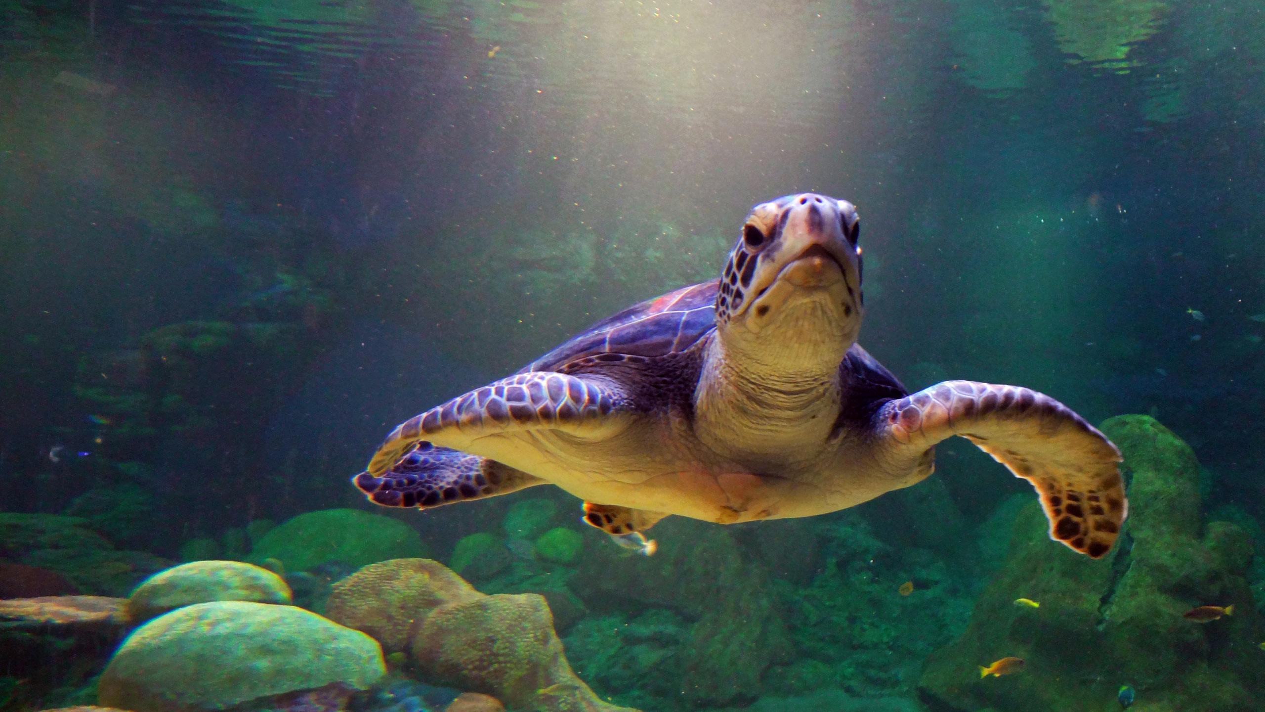 55 Sea Turtles Desktop