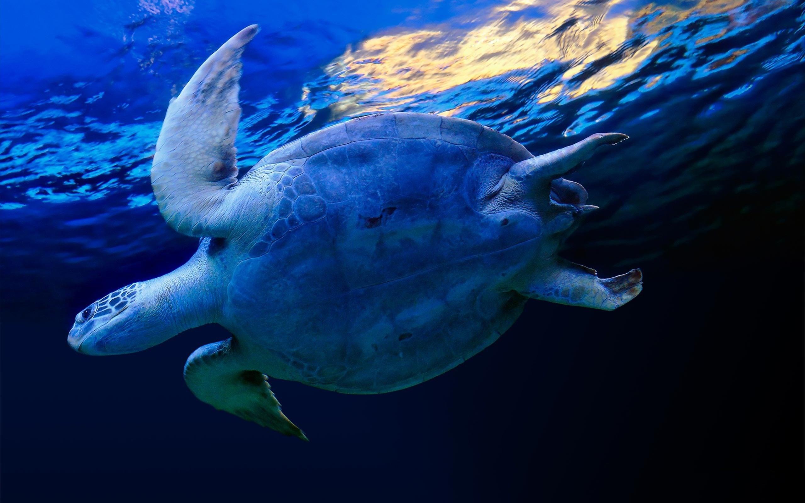 wallpaper desktop turtle