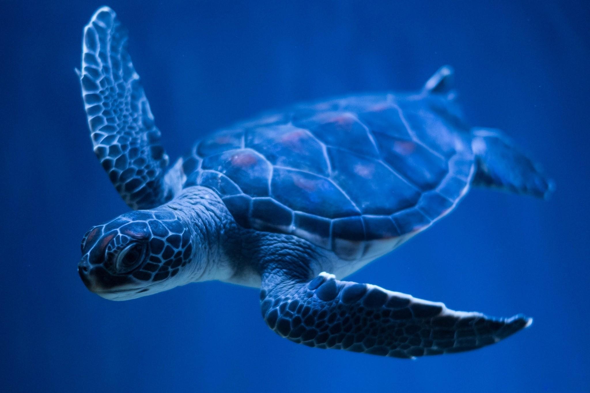 Hawksbill Turtle Desktop Background. Download …