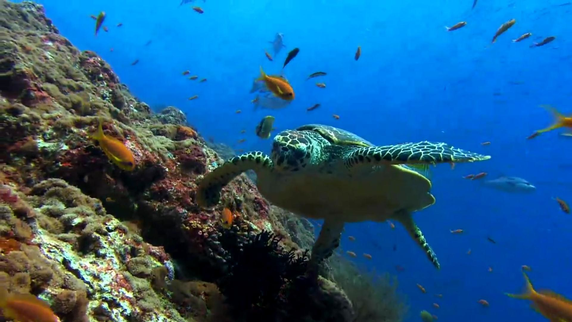 Sea Turtle Hd 1080p