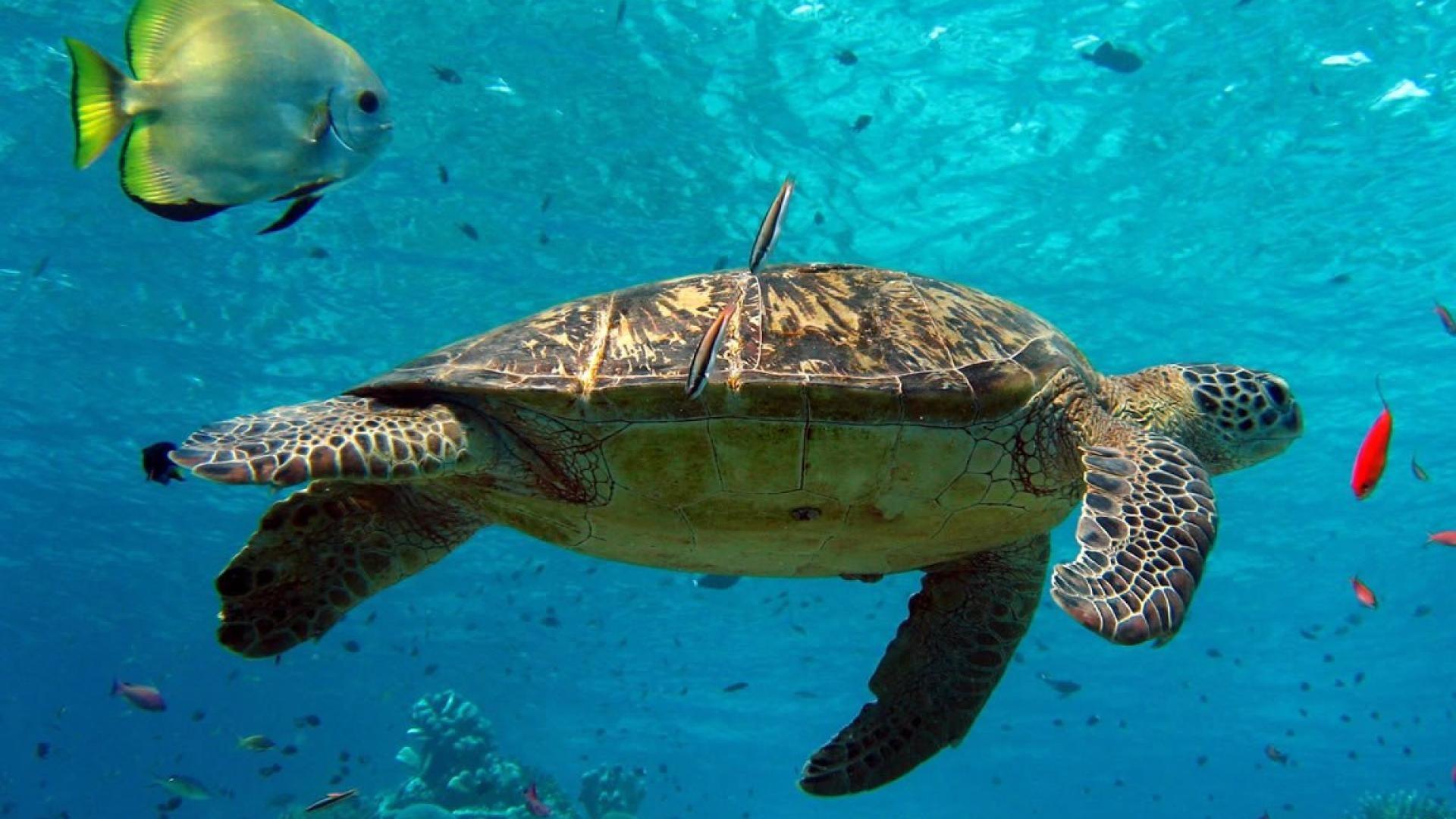 1920x1080_turtle-turtles-sea-animals-underwater-wild-nature-HD-Wallpaper.jpg  (1920×1080)   Turtles & Crocs   Pinterest   Sea turtles, Turtle and 3d …