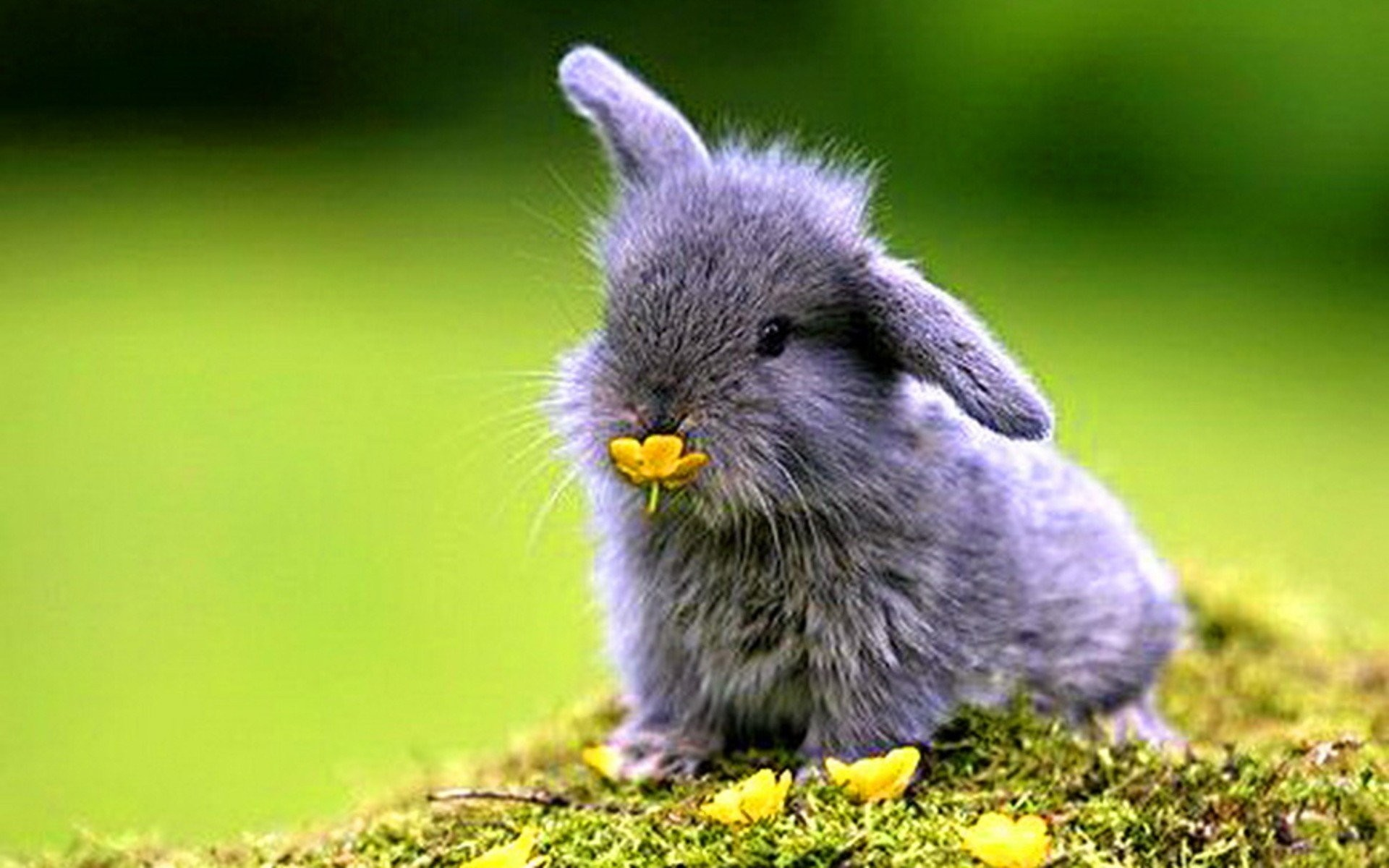 … baby bunny wallpaper wallpapersafari; rabbits wallpaper other animals  …
