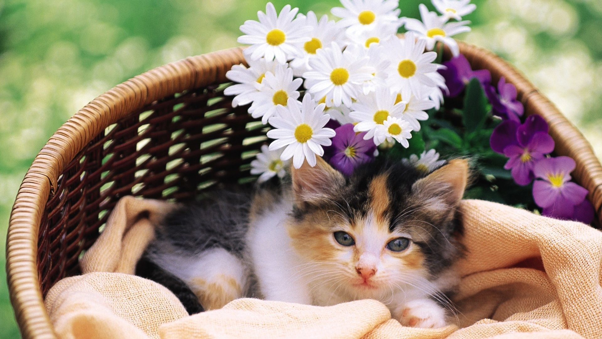 #663344 Color – Flowers Cats Kitten Kittens Cat Baby Animals And Spring for  HD 16