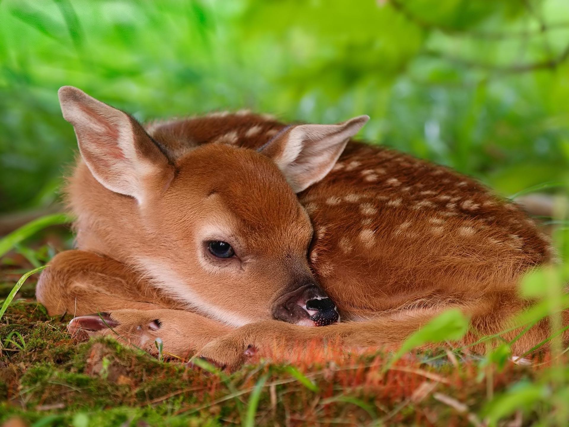 Desktop Wallpaper · Gallery · Animals · Red deer calf chital deer (spotted  deer,