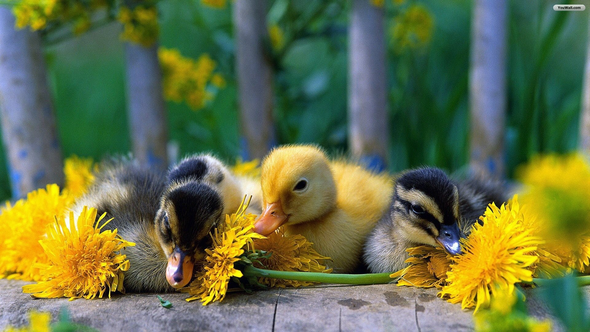 Cute Baby Duck Wallpaper, .