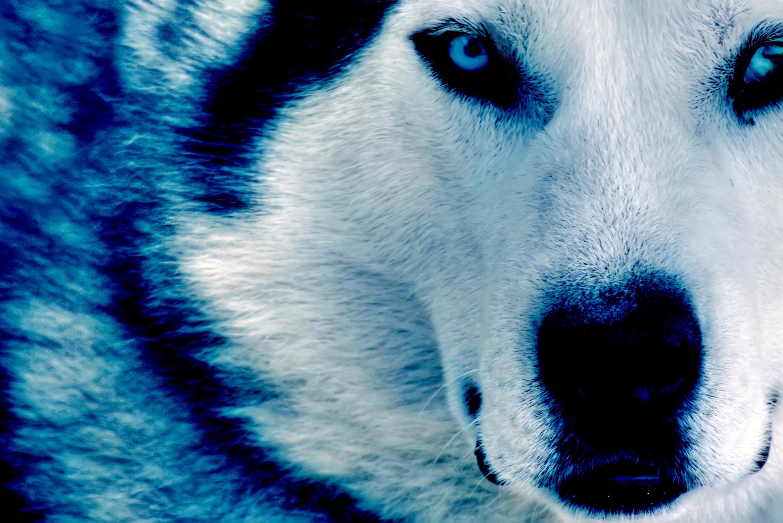 Winter Wolf HD dekstop wallpapers – Winter Wolf