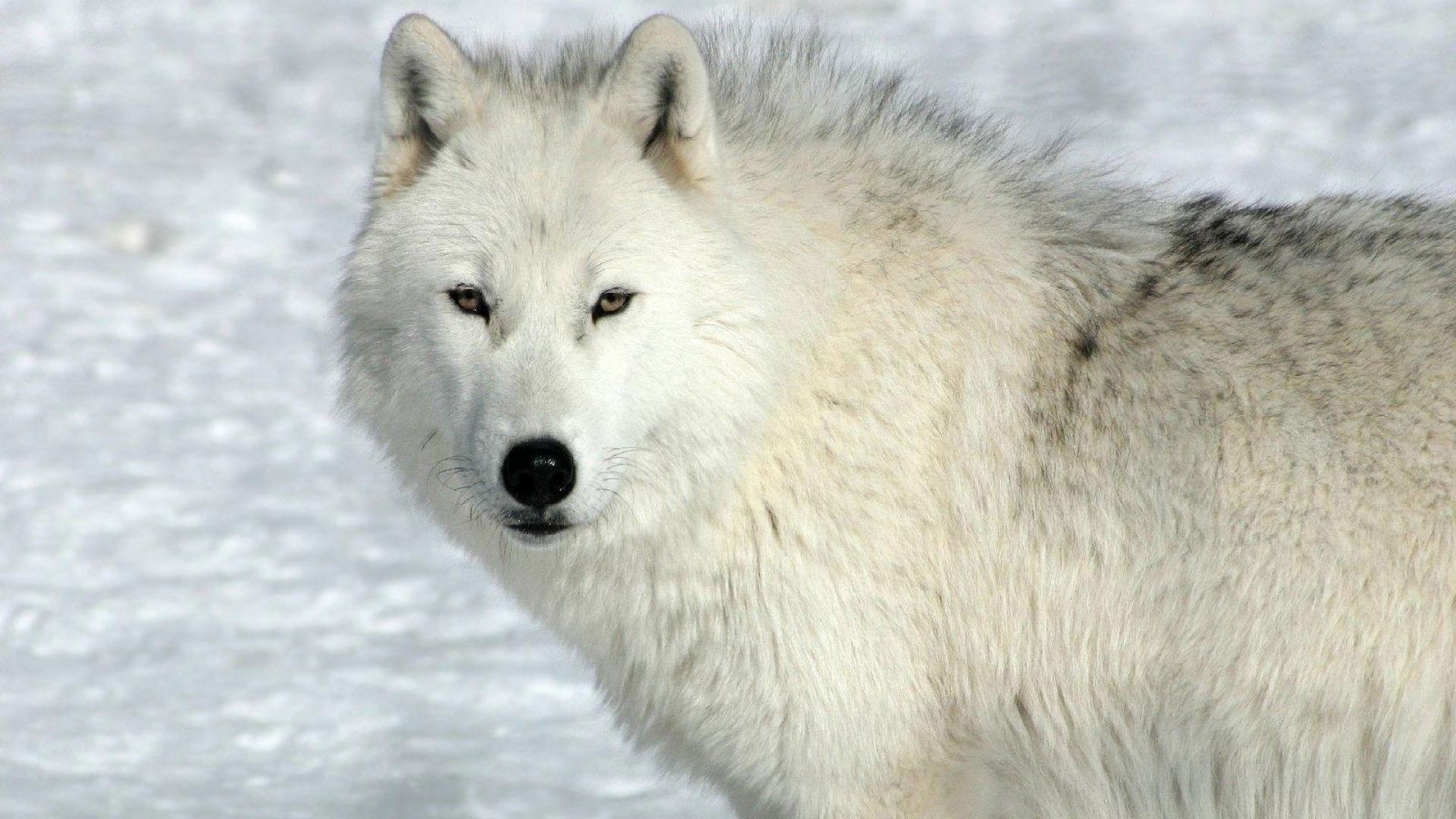 hd pics photos cute white wolf snow ice attractive wild animals hd quality desktop  background wallpaper