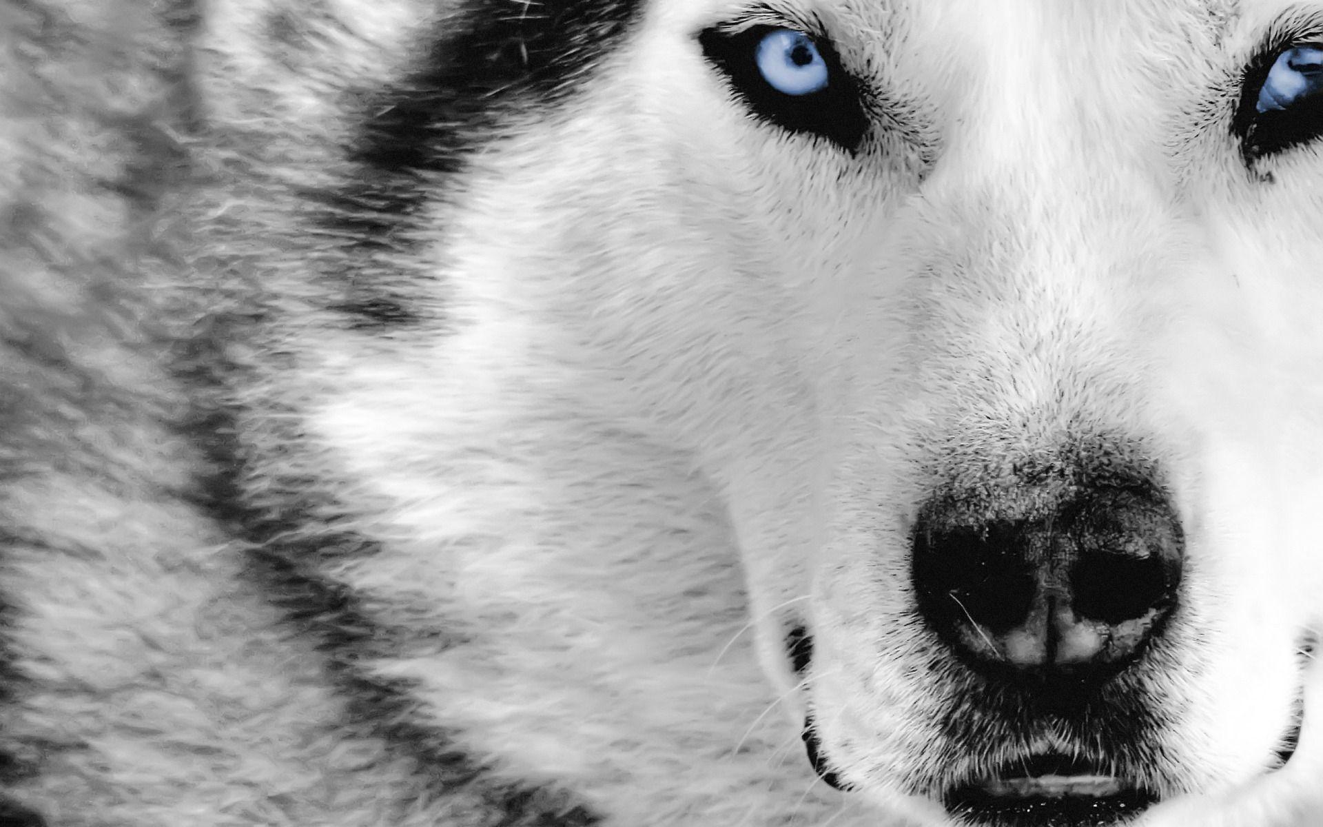 … new white wolf wallpaper dodskypict …