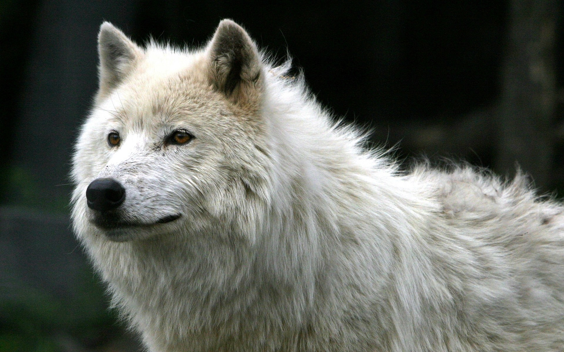 Here is the best collection of pictures of wolves. This collection also  contain hd wallpapers and backgrounds which will double the beauty of  desktop.