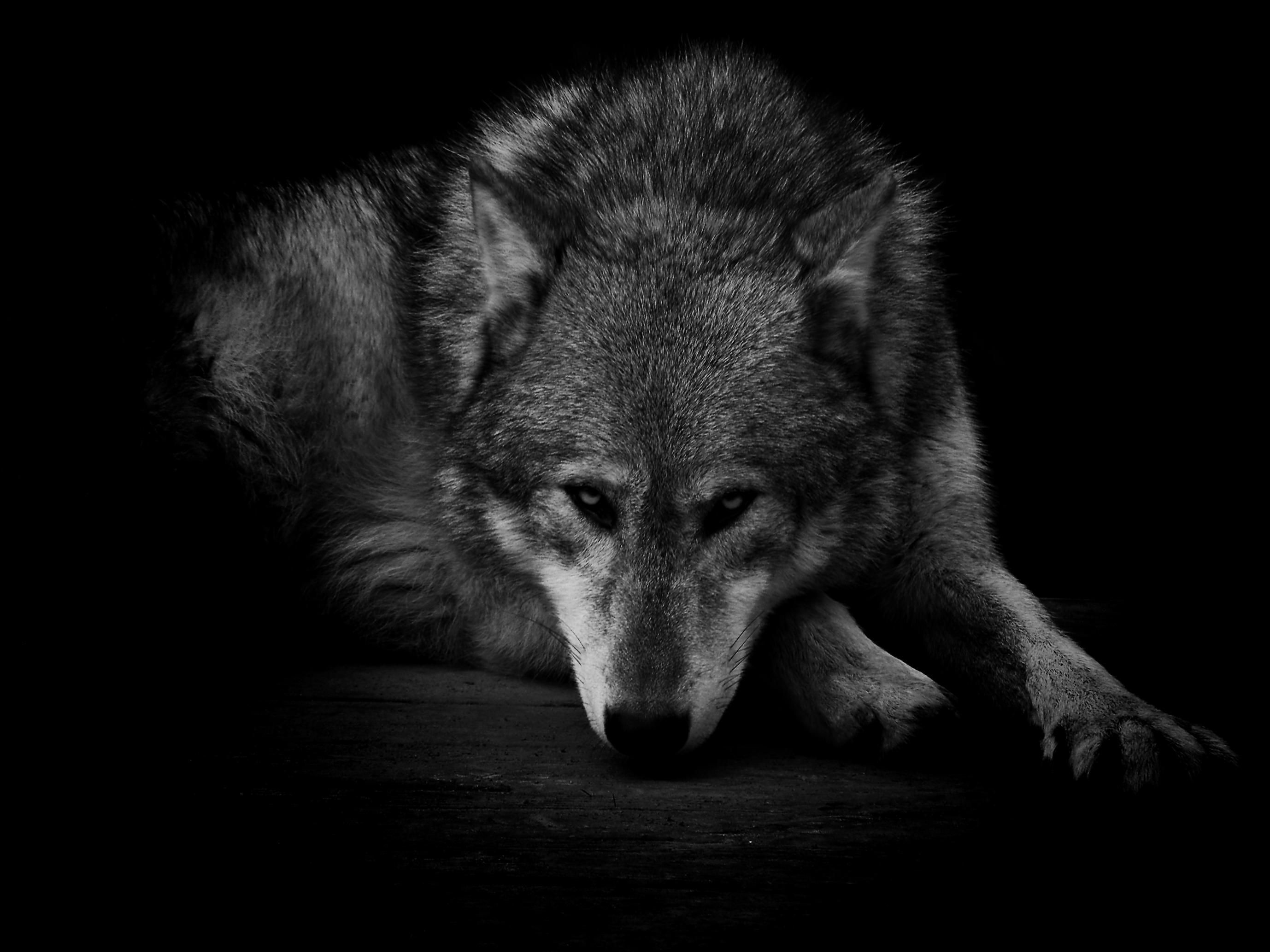 GRAY WOLF WALLPAPER – (#80742) – HD Wallpapers – [wallpapersinhq.pw