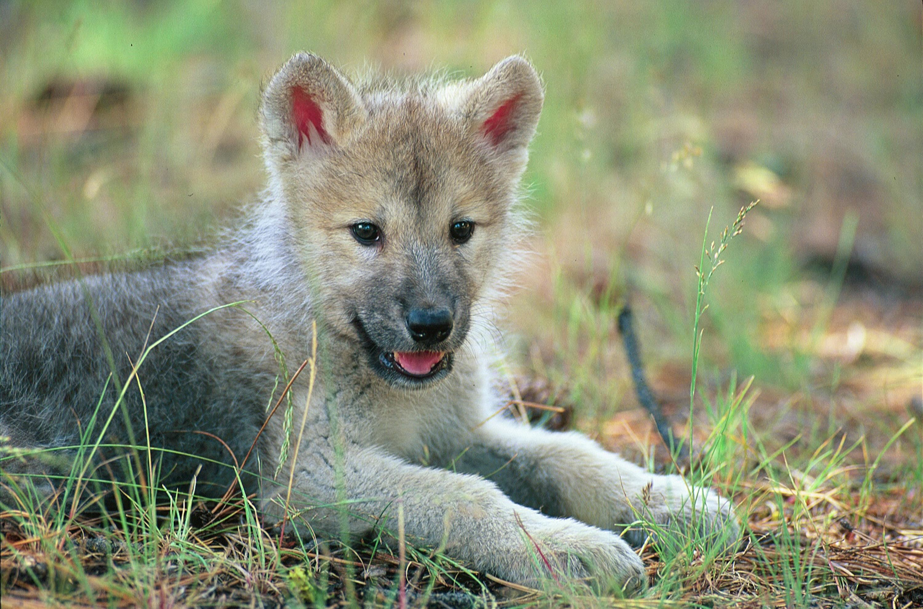 … baby wolf wallpaper on wallpaperget com …