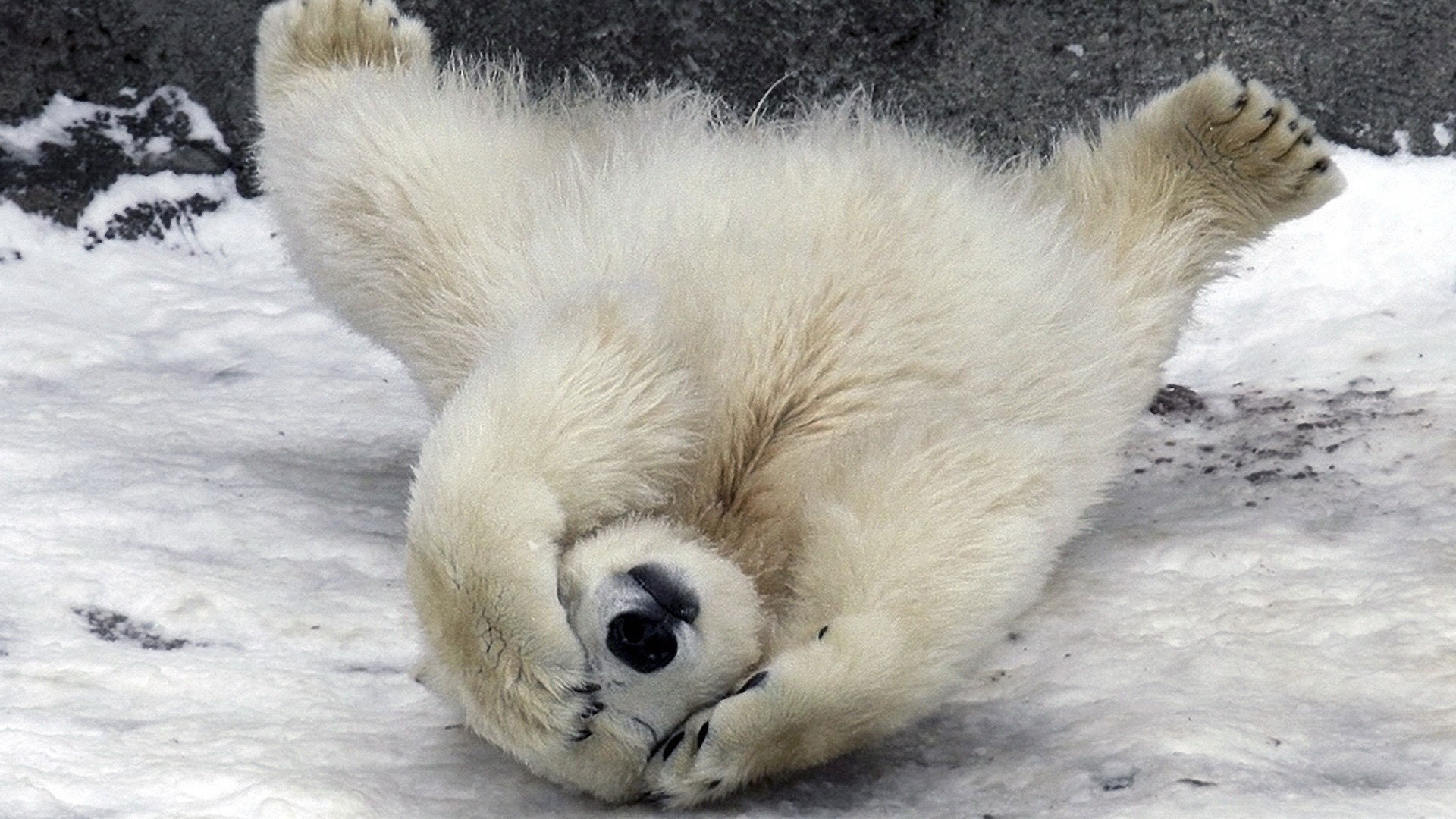 hd pics photos best funny animals polar bear snow ice winter hd quality  desktop background wallpaper