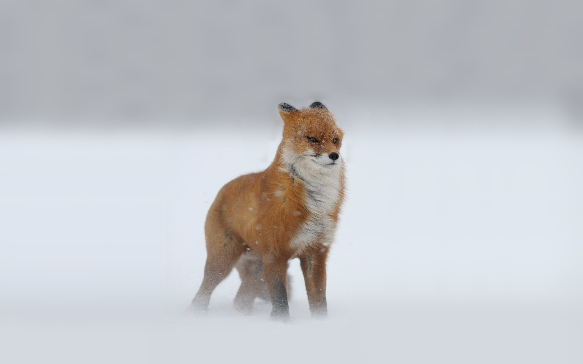 Freezing fox wallpaper