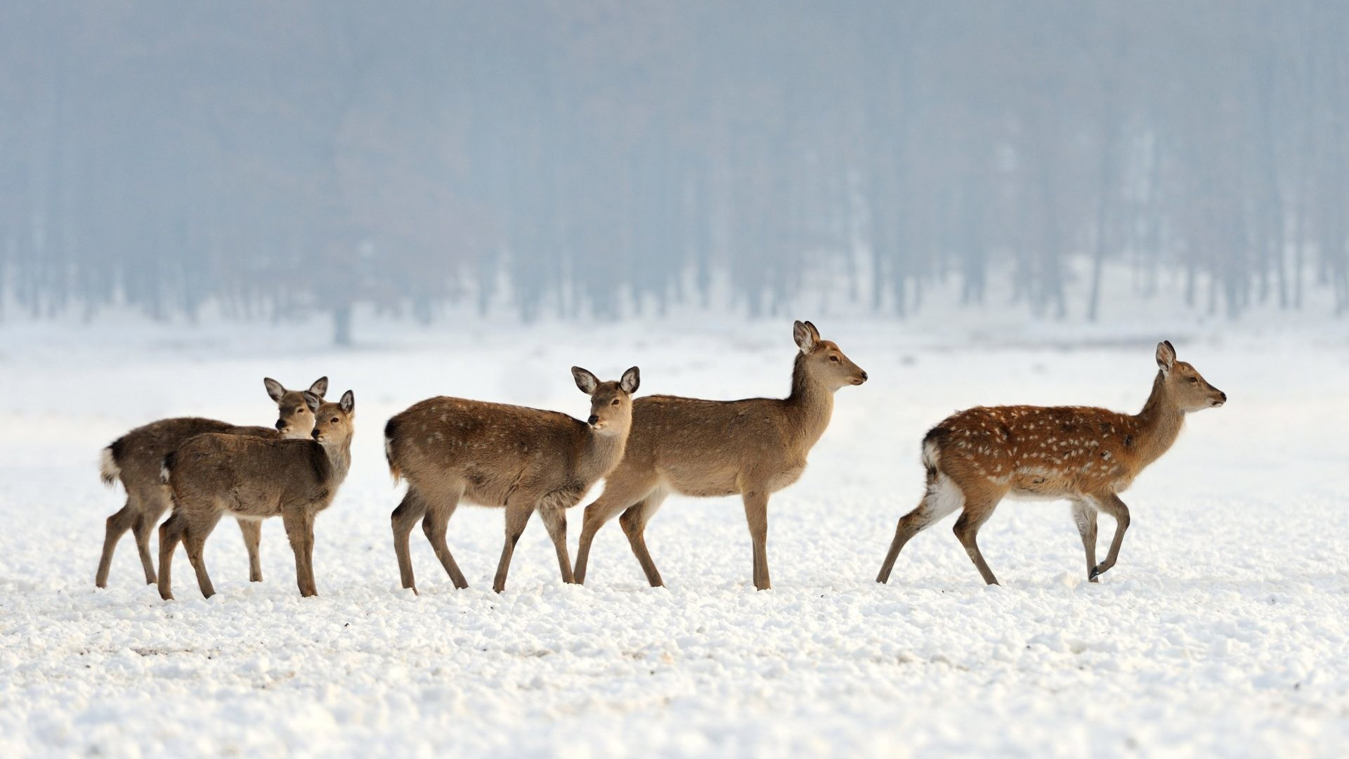 Animals – Winter Deer Snow Nature Landscape Desktop Animals Download for HD  16:9 High