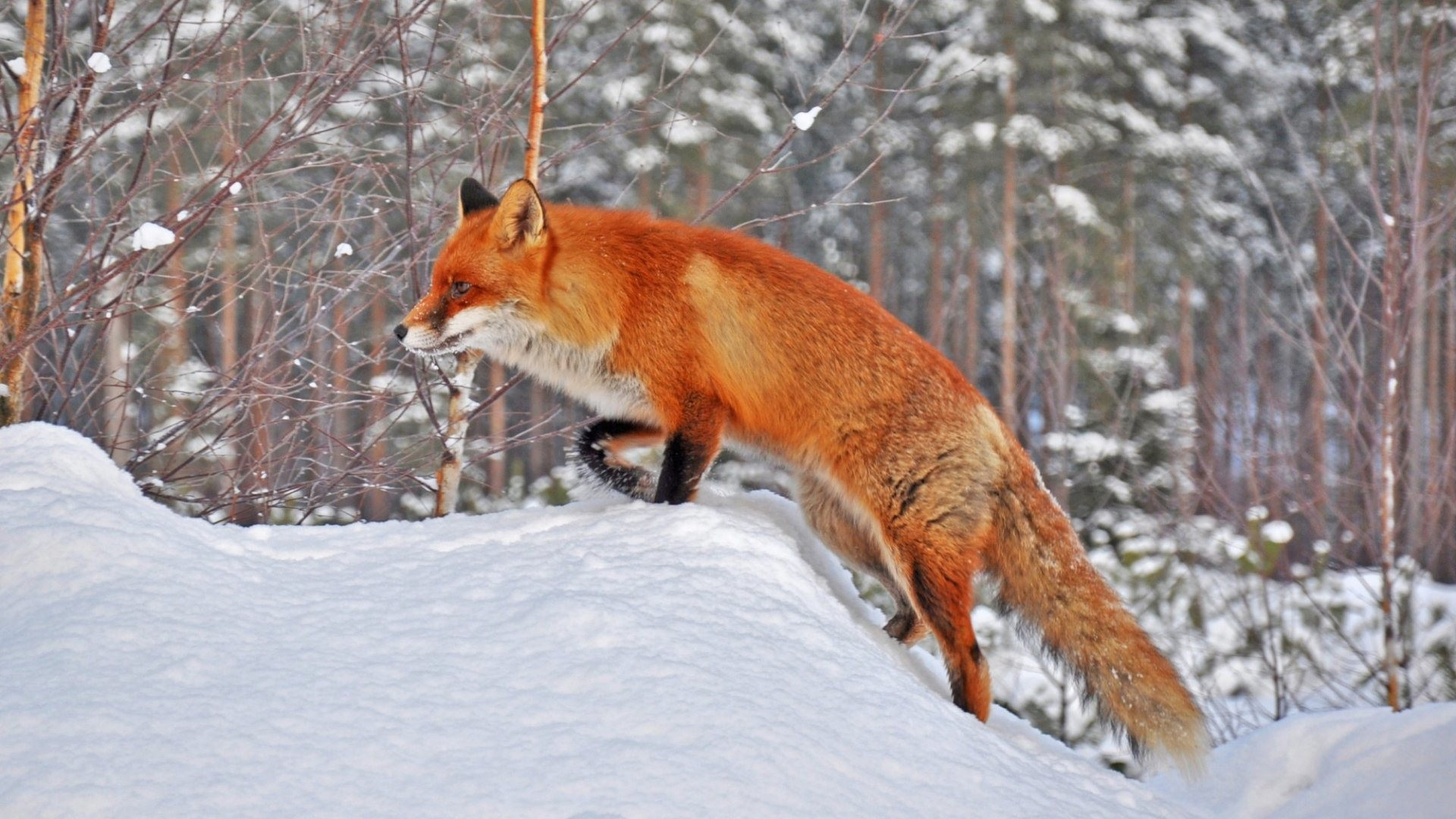 Animal · Fox Snow Wallpaper …