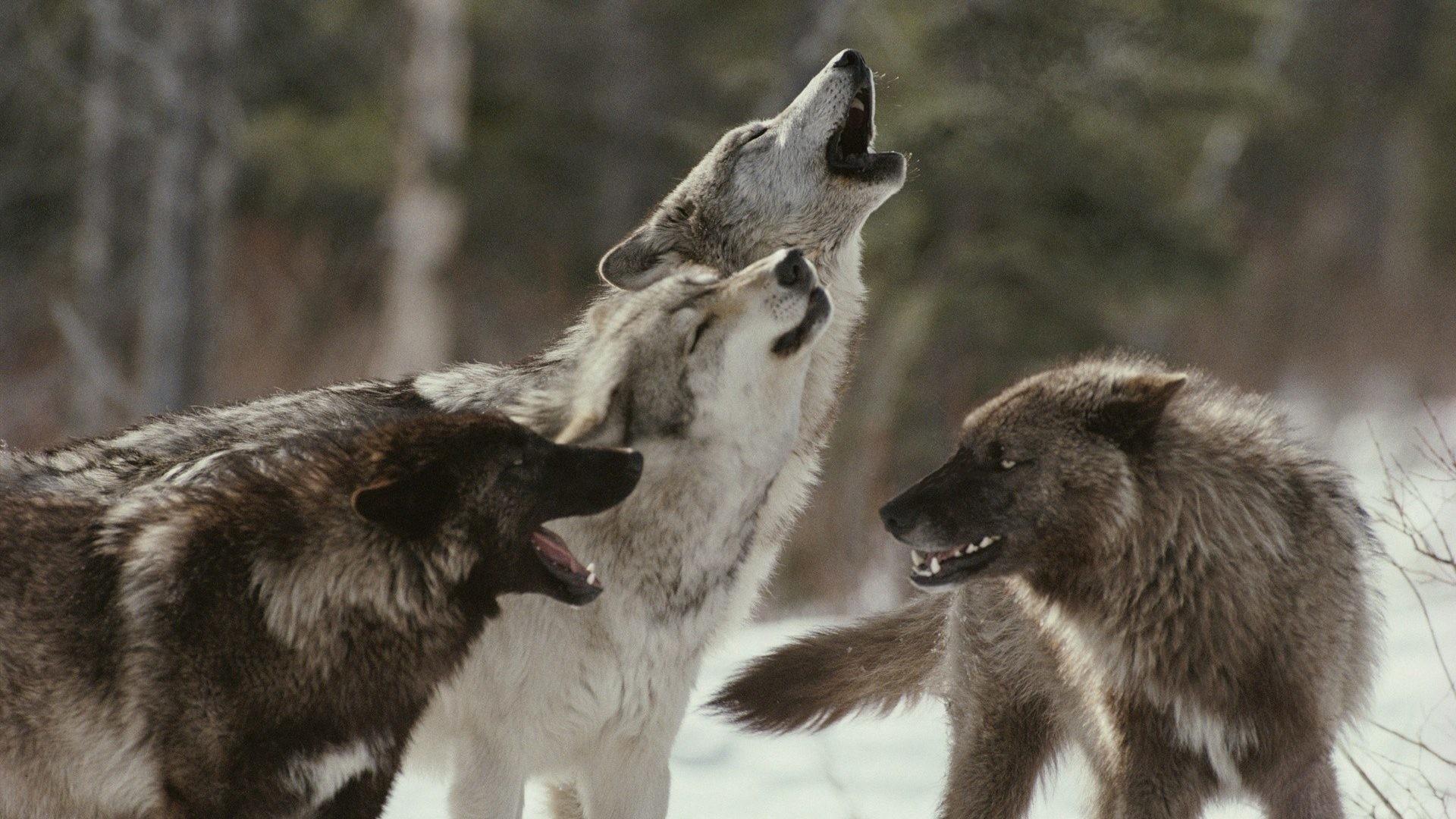 Winter Tag – Snow Predator Wildlife Fangs Fur Trees Winter Muzzle Howl  Animals Emotion Forest Mood