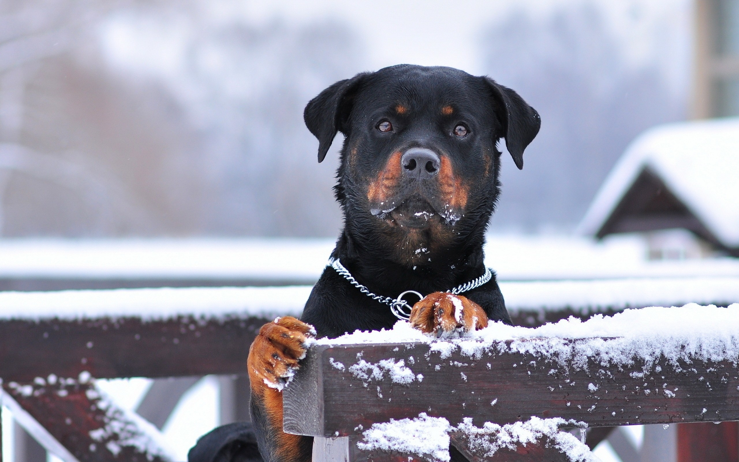 rottweiler increased attention winter snow wide hd wallpaper – WPWide