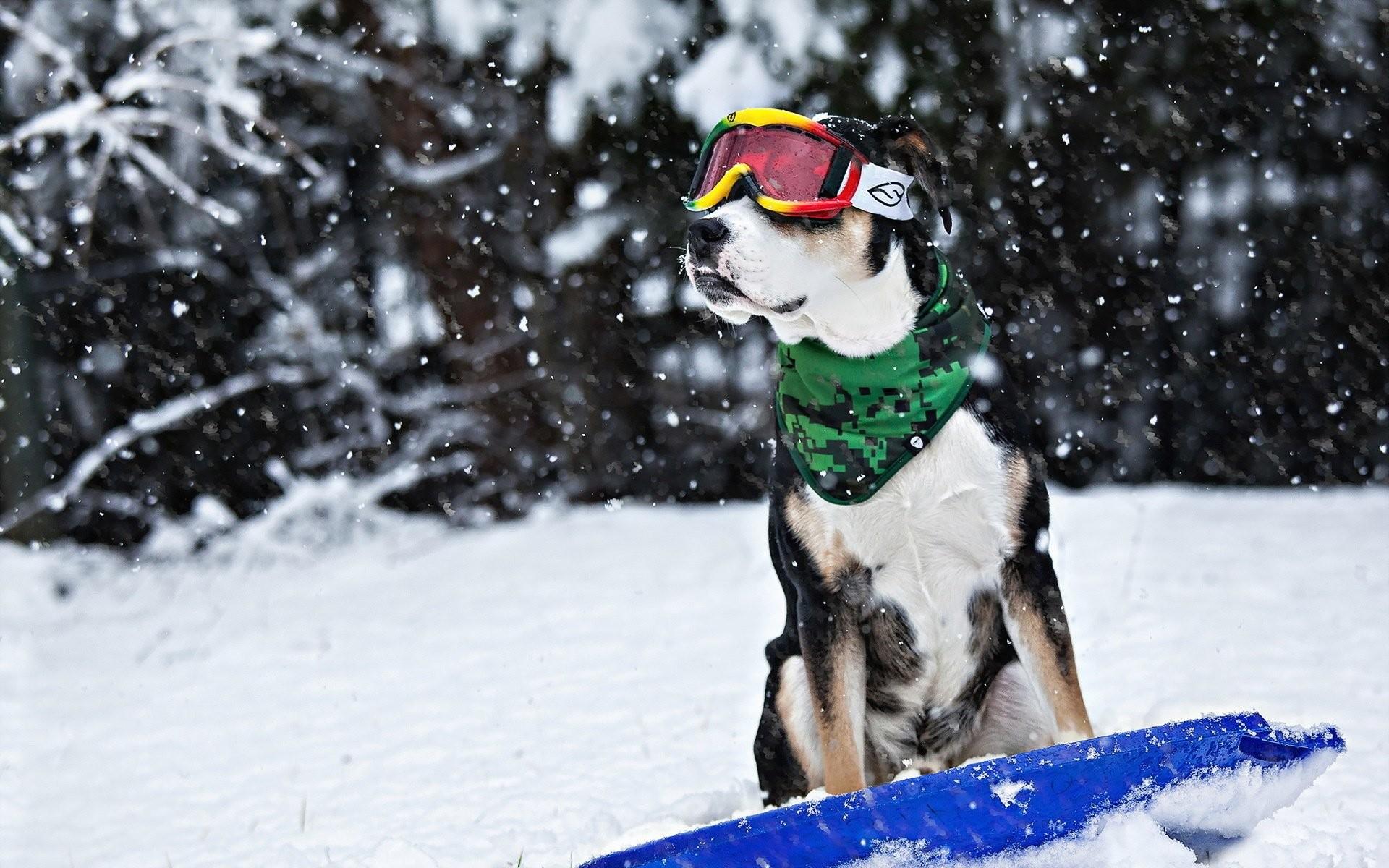 Dog snow winter sled glasses humor funny wallpaper | | 649219 |  WallpaperUP