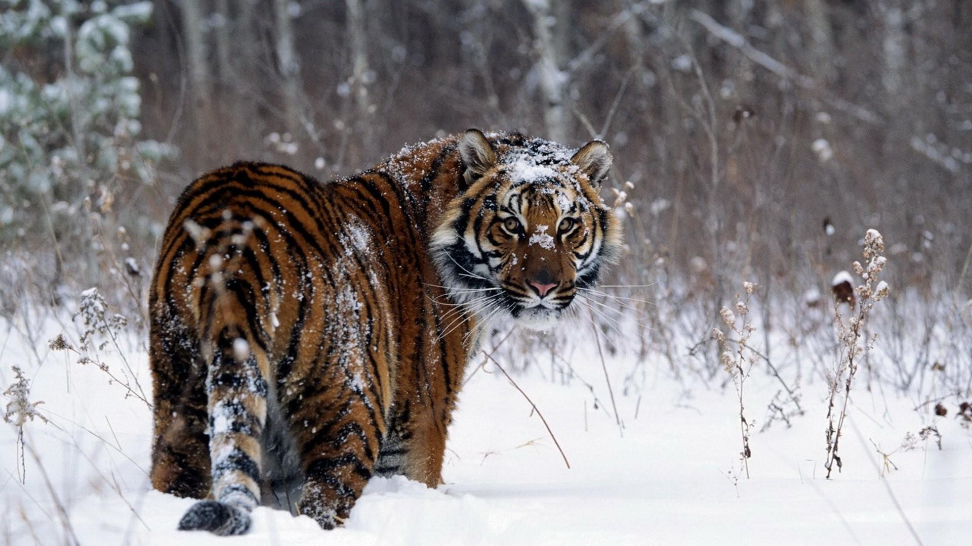 HD Wallpaper | Background ID:104655. Animal Tiger