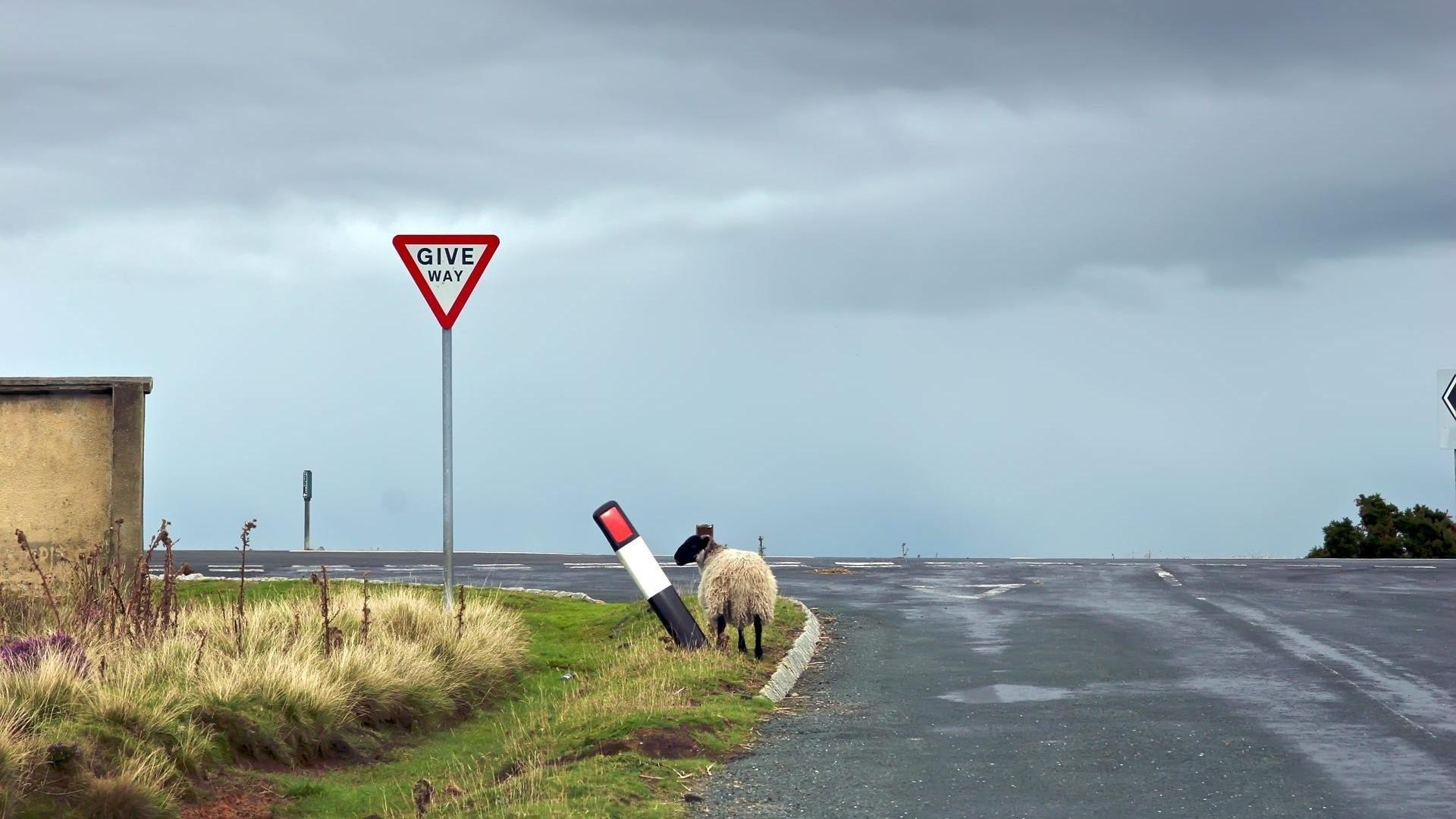 Funny Sheep 336059 …